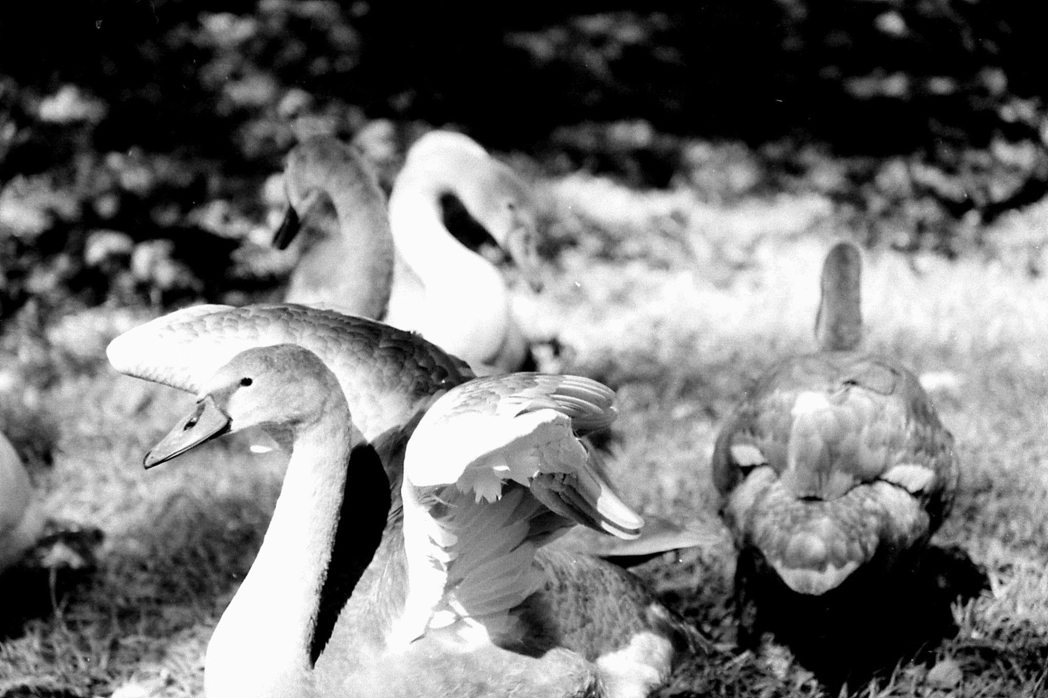 7/9/1988: 38: swans