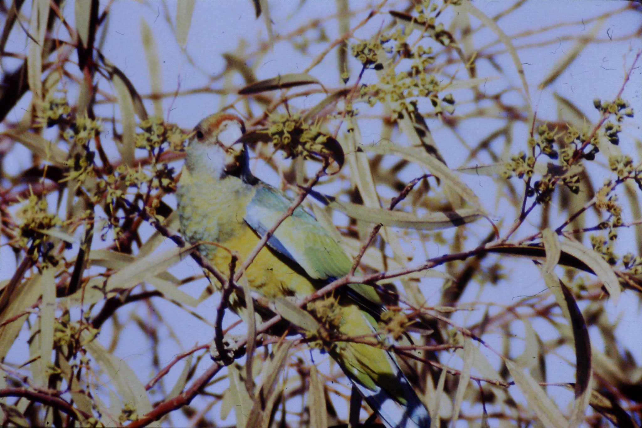 6/11/1990: 28: Flinders Ranges National Park, Port Lincoln ringnecked parrot