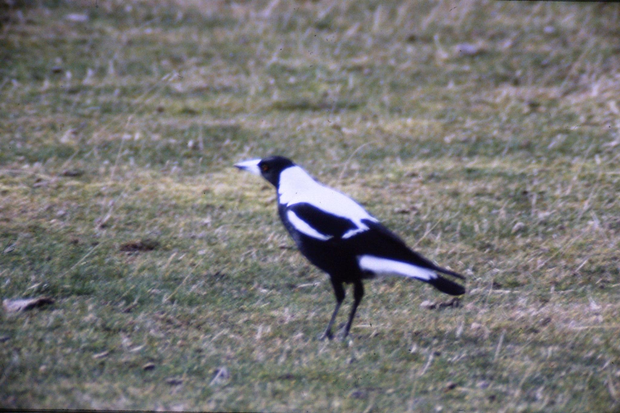 13/8/1990: 30: Australian magpie