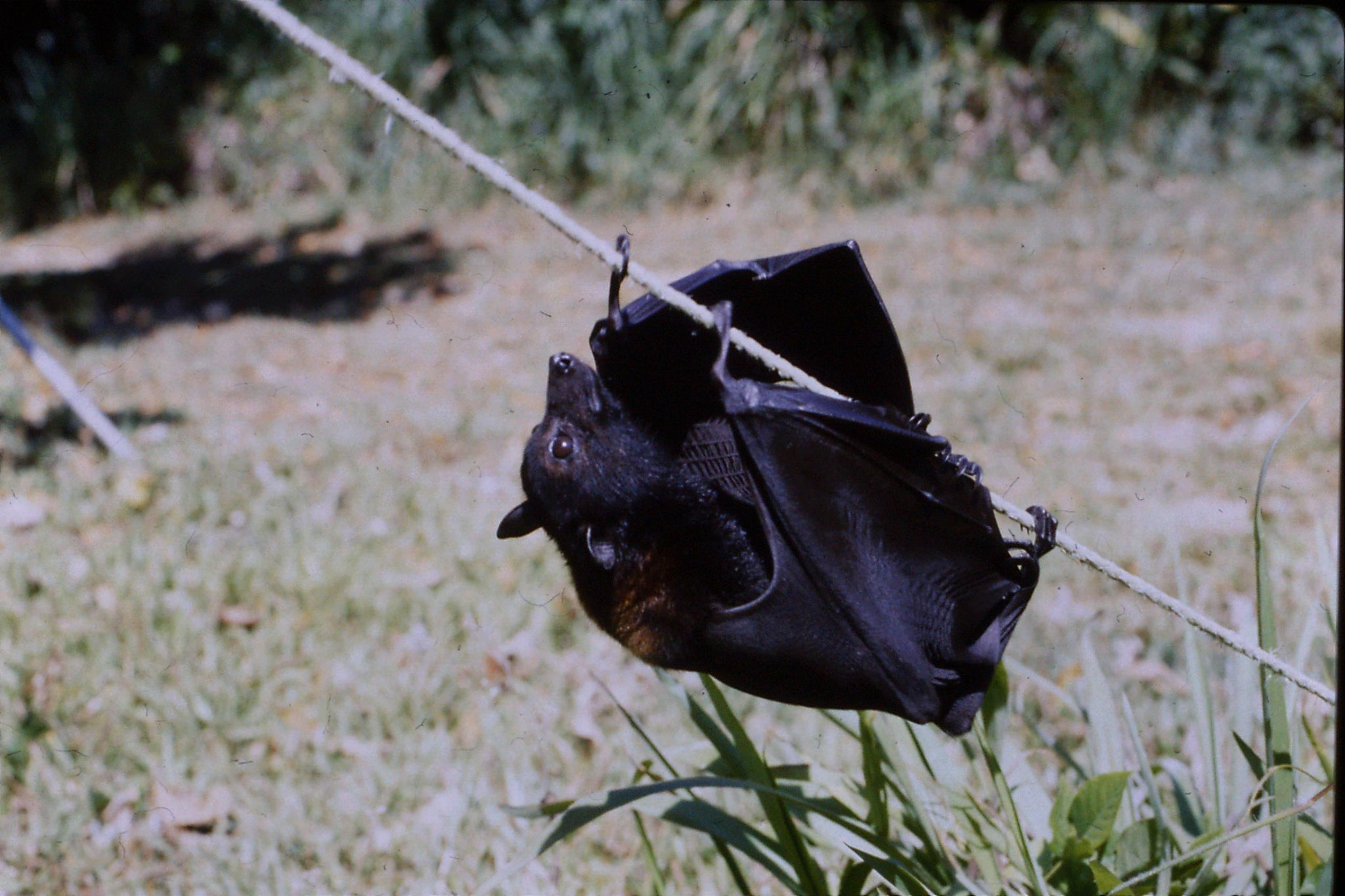 27/10/1990: 25: Cape Tribulation, flying foxes at High and Brigitta's place in Cairns