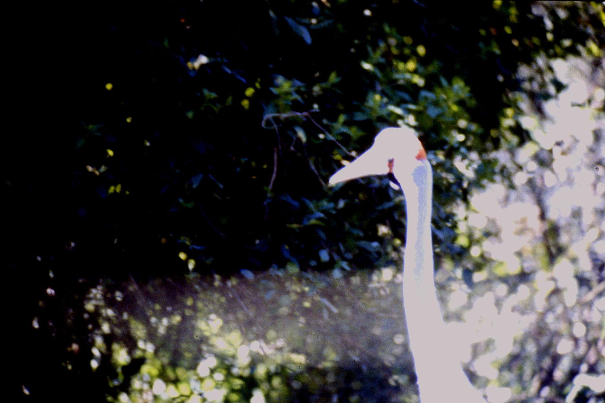 4/10/1990: 14: Healesville  Sanctuary, brolga crane