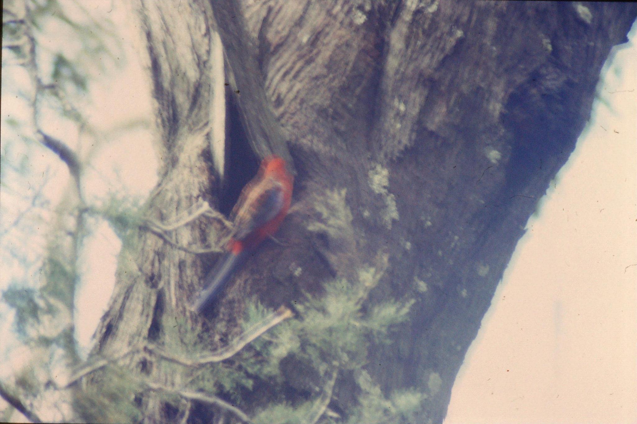 21/9/1990: 1: near Sundial picnic gound, crimson rosella