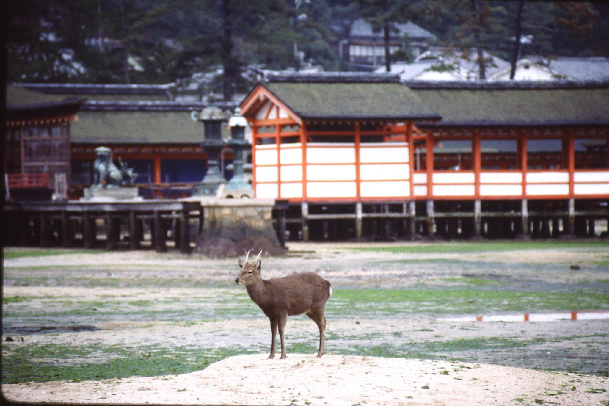 23/1/1989: 16: Miyajima