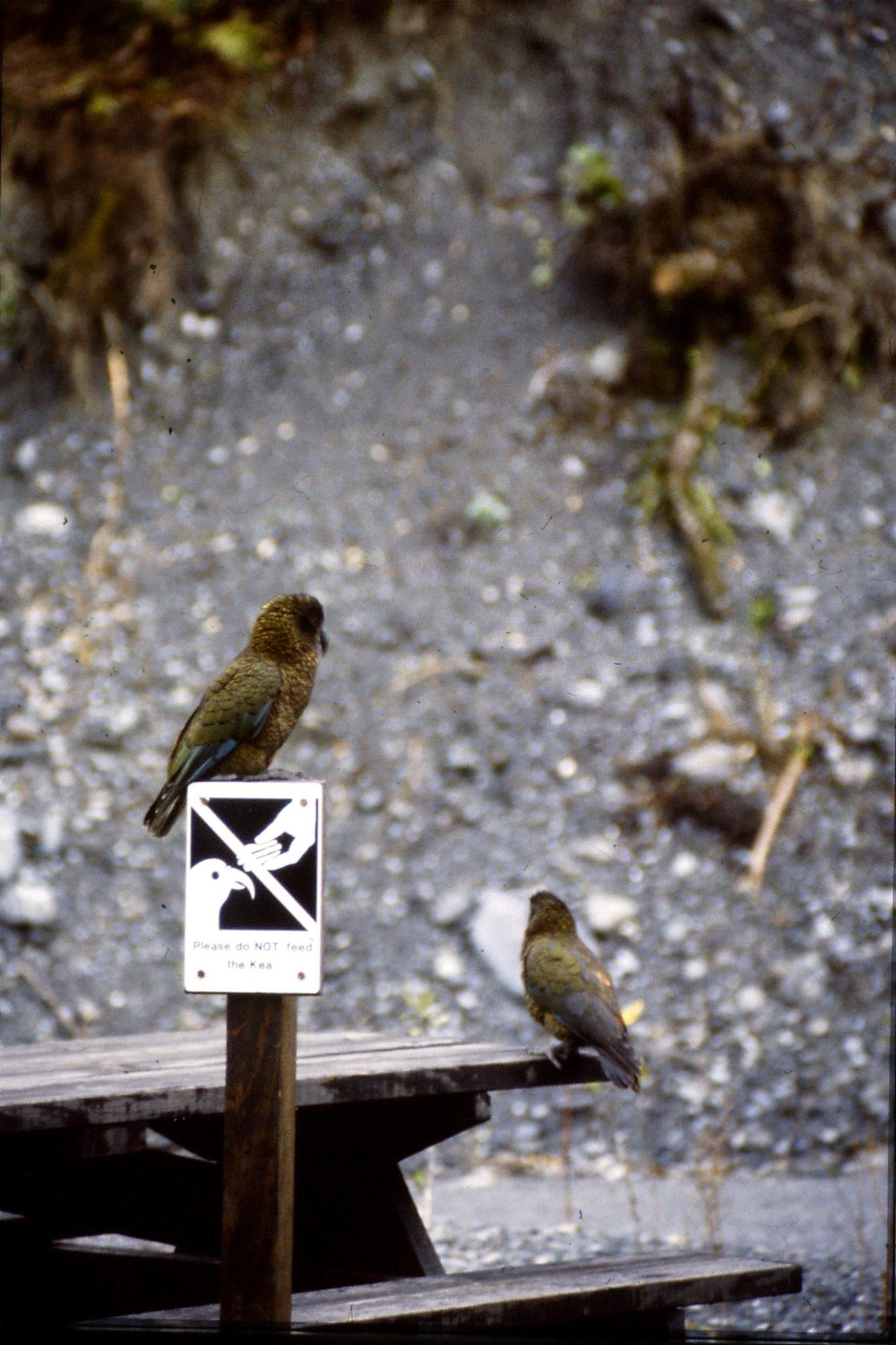 22/8/1990: 33: Keas at Franz Joseph Glacier