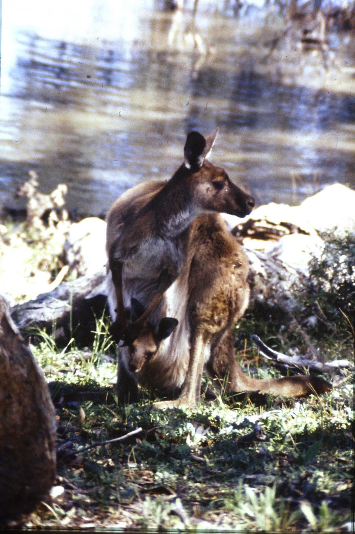 24/9/1990: 12: Hattah Kulkyne, red kangaroos