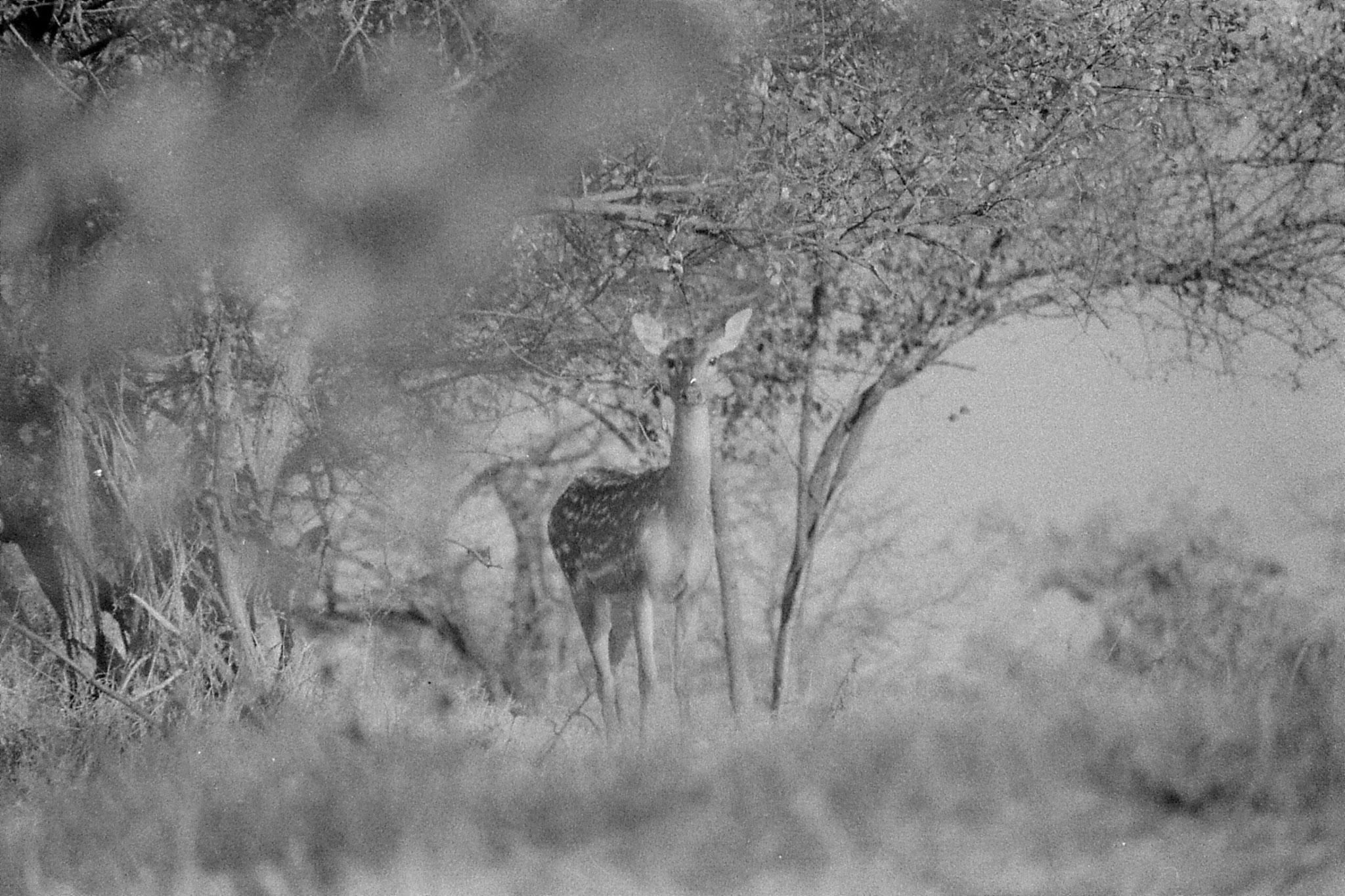 12/12/89 : 1: Sasan Gir: Spotted deer