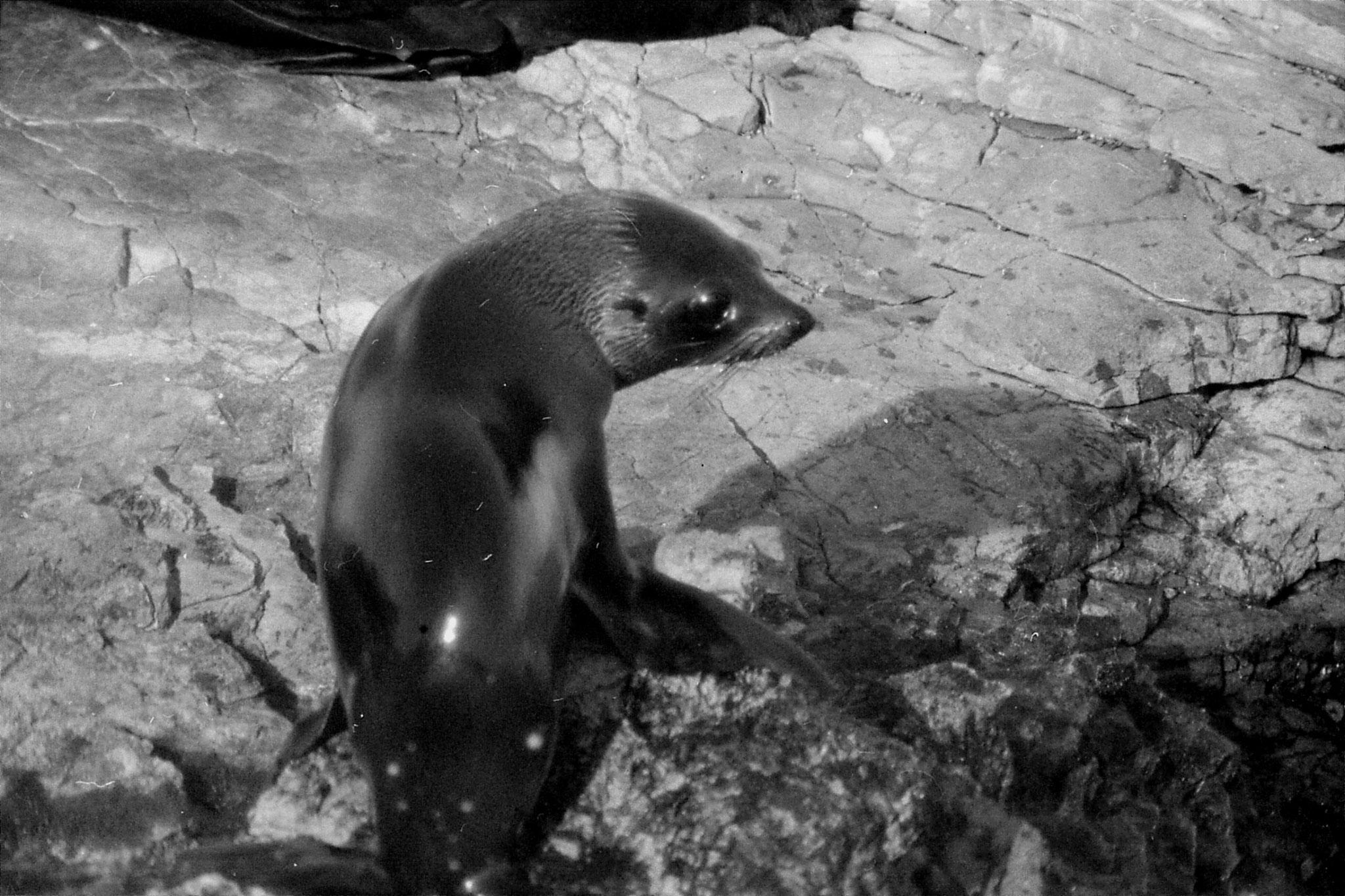 9/8/1990: 1: Kaikoura seals