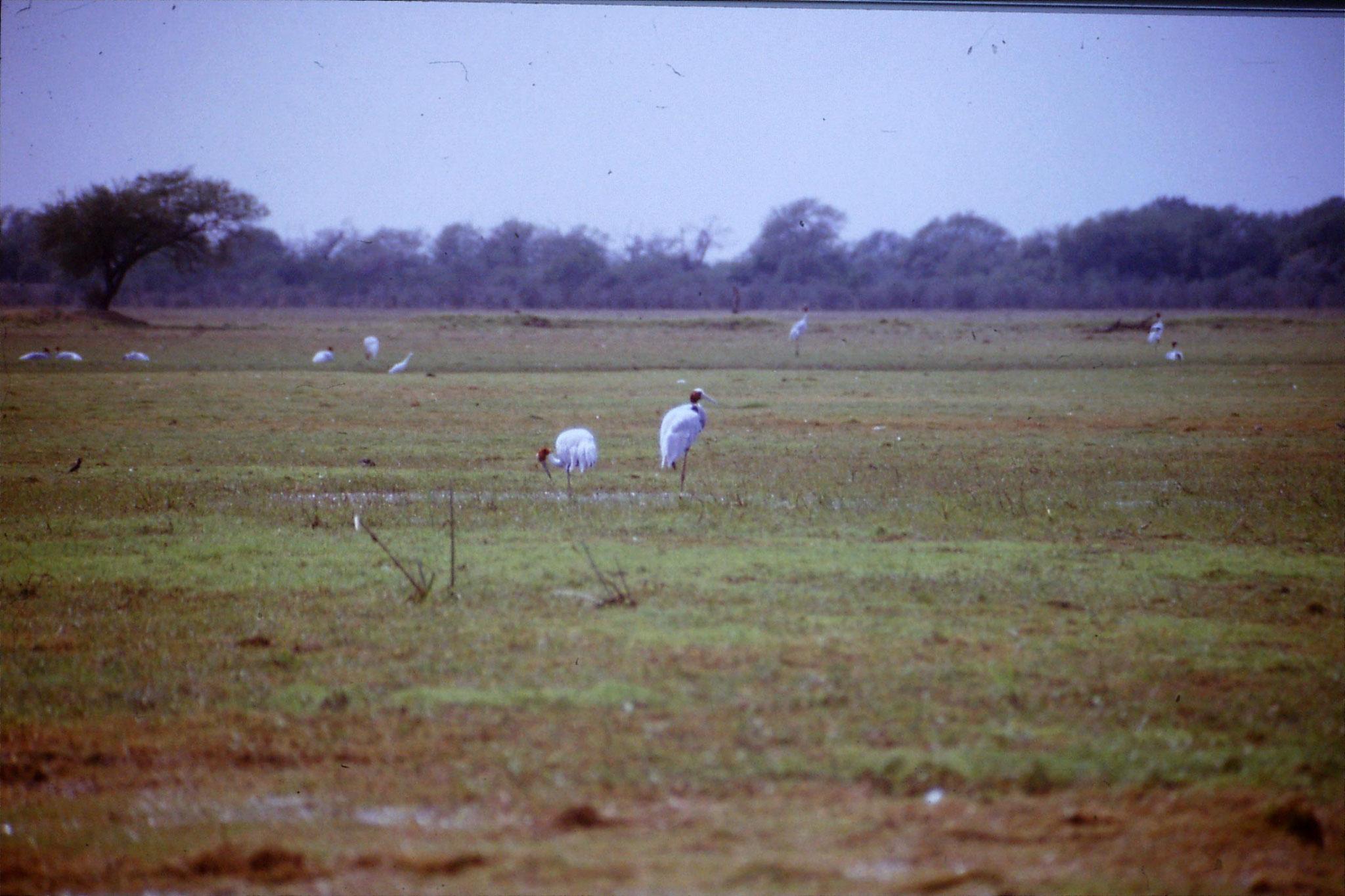 109/16: 1/4/1990 Bharatpur - two Sarus cranes