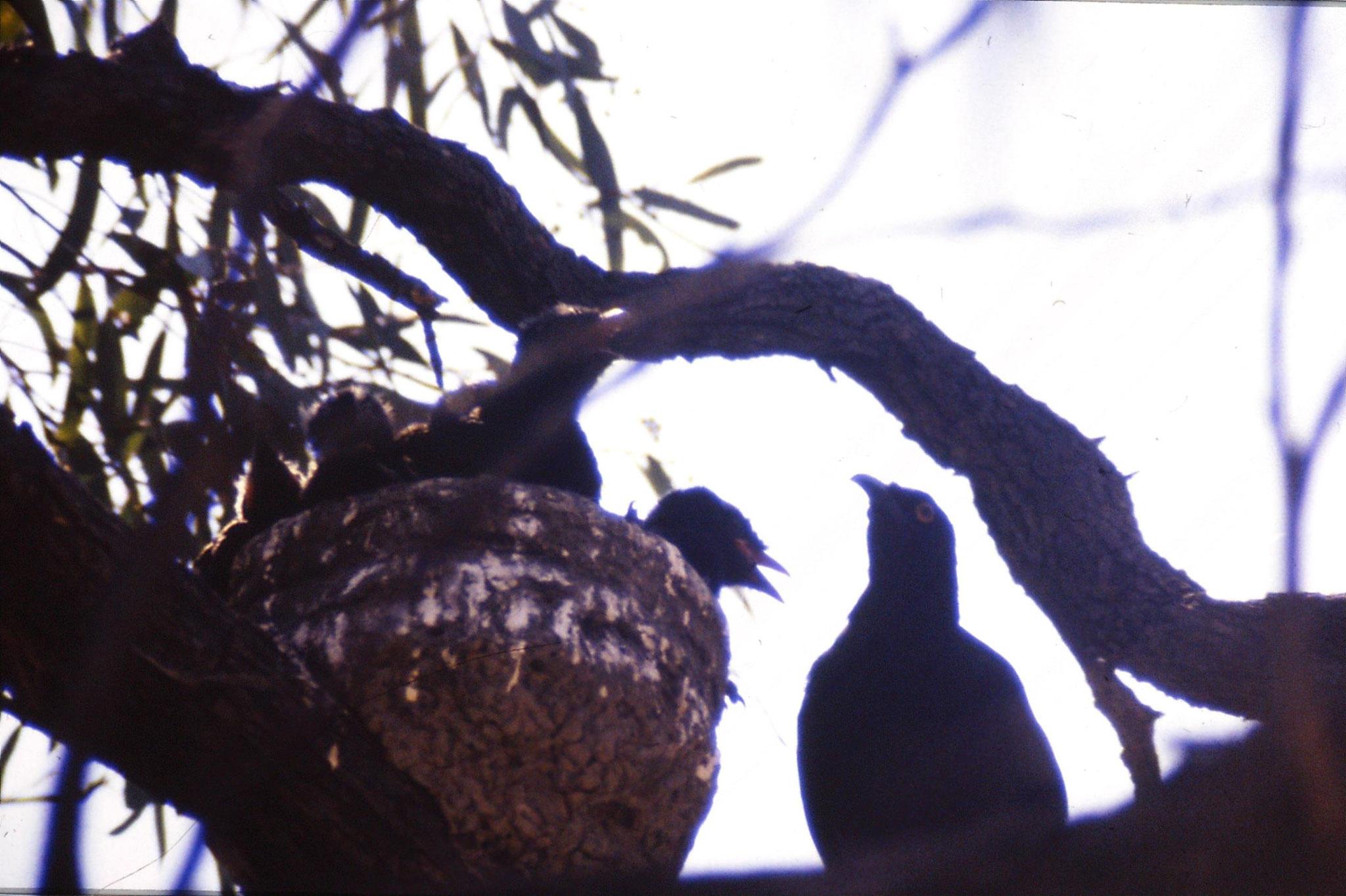 24/9/1990: 8: Hattah Kulkyne, chough nest