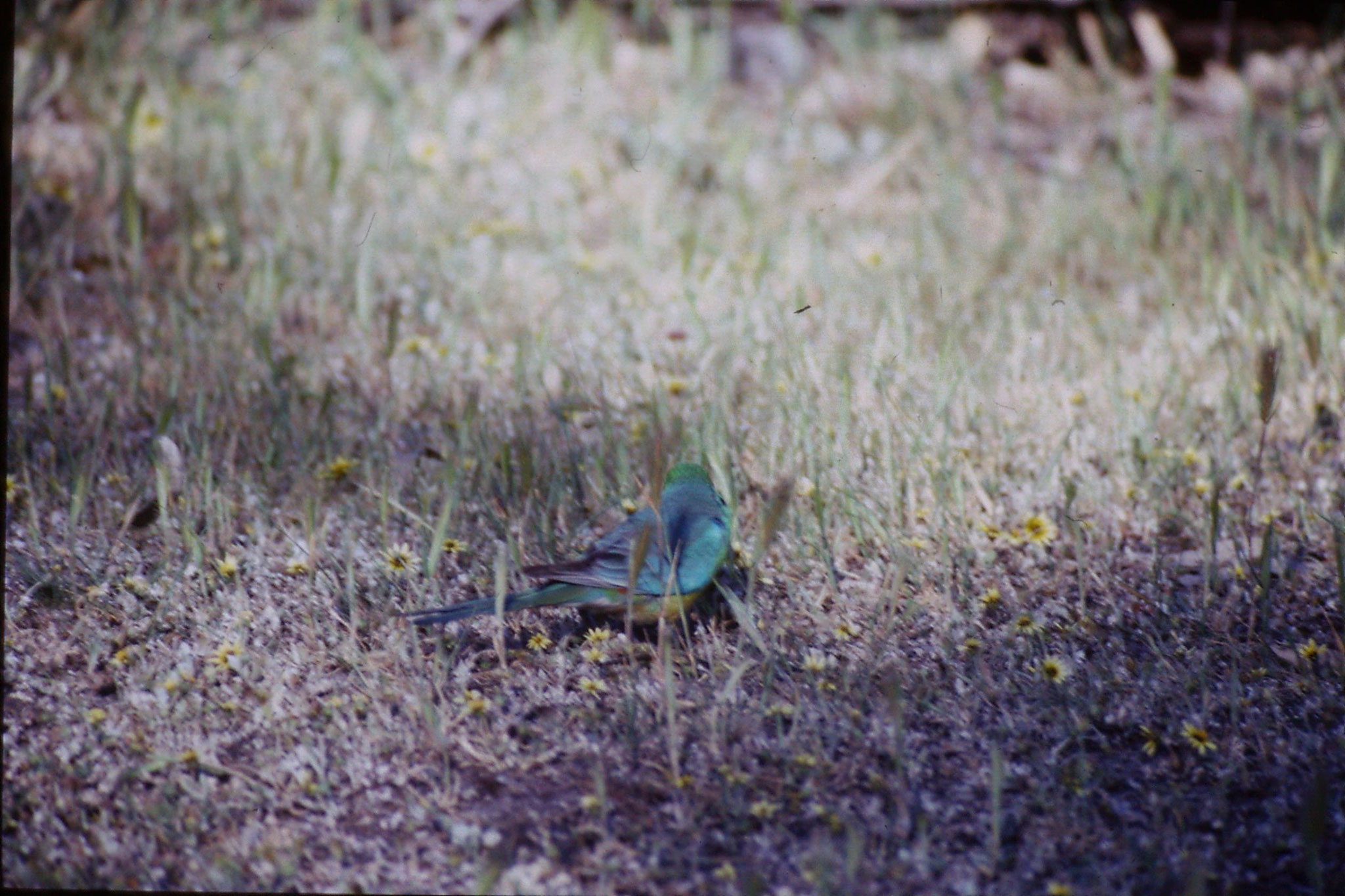 23/9/1990: 21: Wyperfeld, red rumped parrot