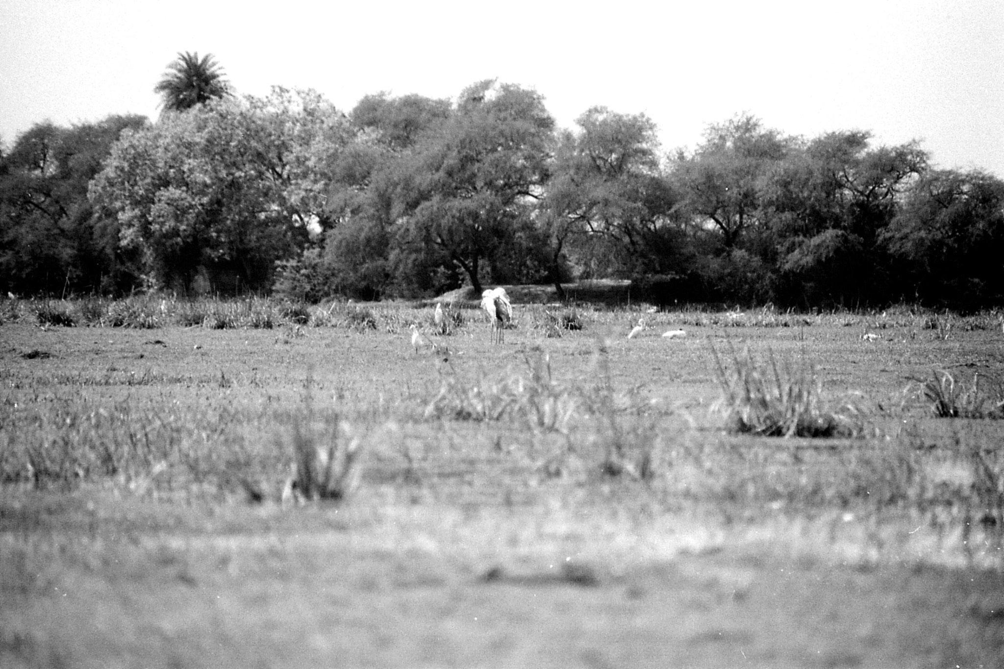 1/4/1990: 12: Bharatpur cranes including Siberian