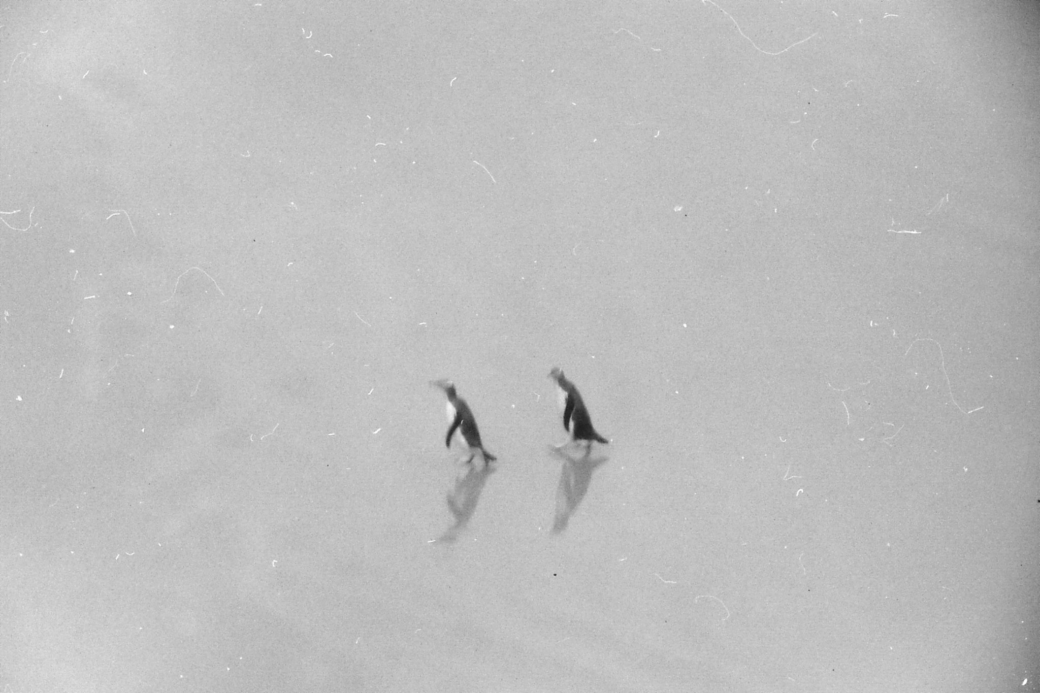 21/8/1990: 31: yellow eyed penguin colony