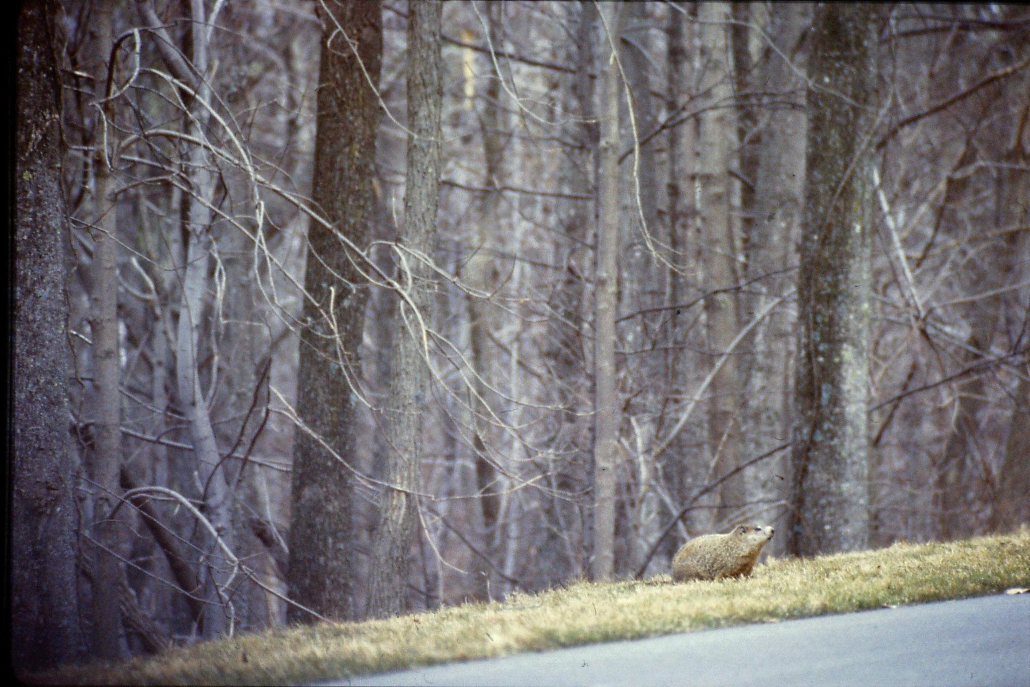 18/3/1991: 29: woodchuck