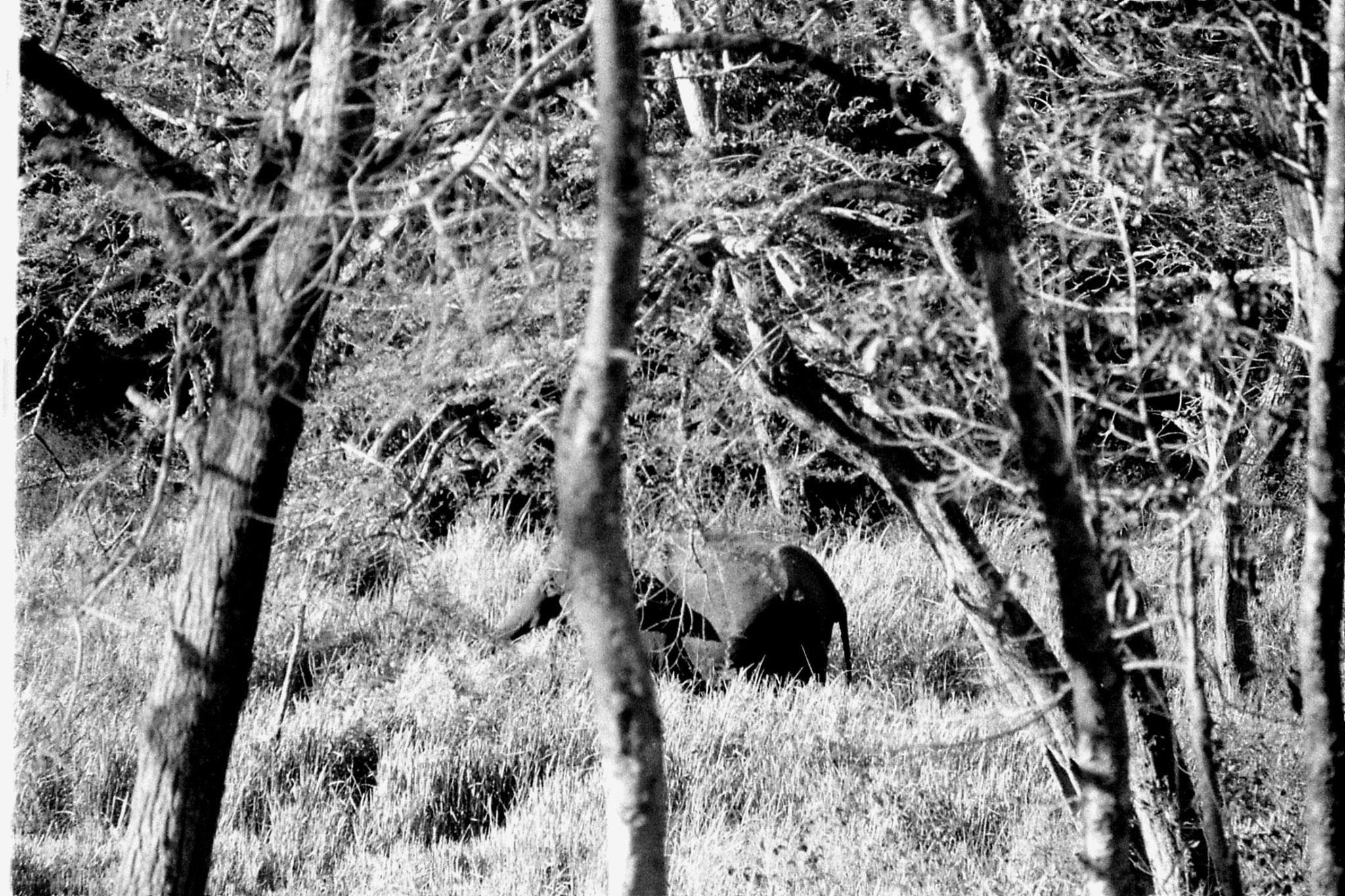 9/3/1990: 18: Nagarahole elephant