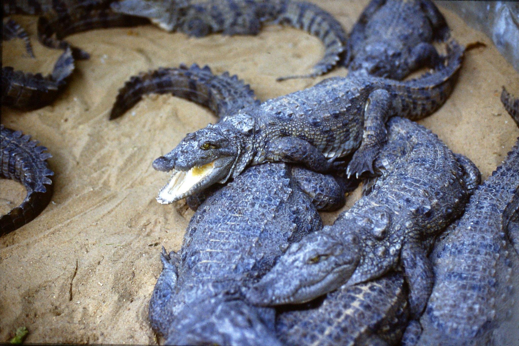 19/1/1990: 22: Madras crocodile park. Mugger crocodiles