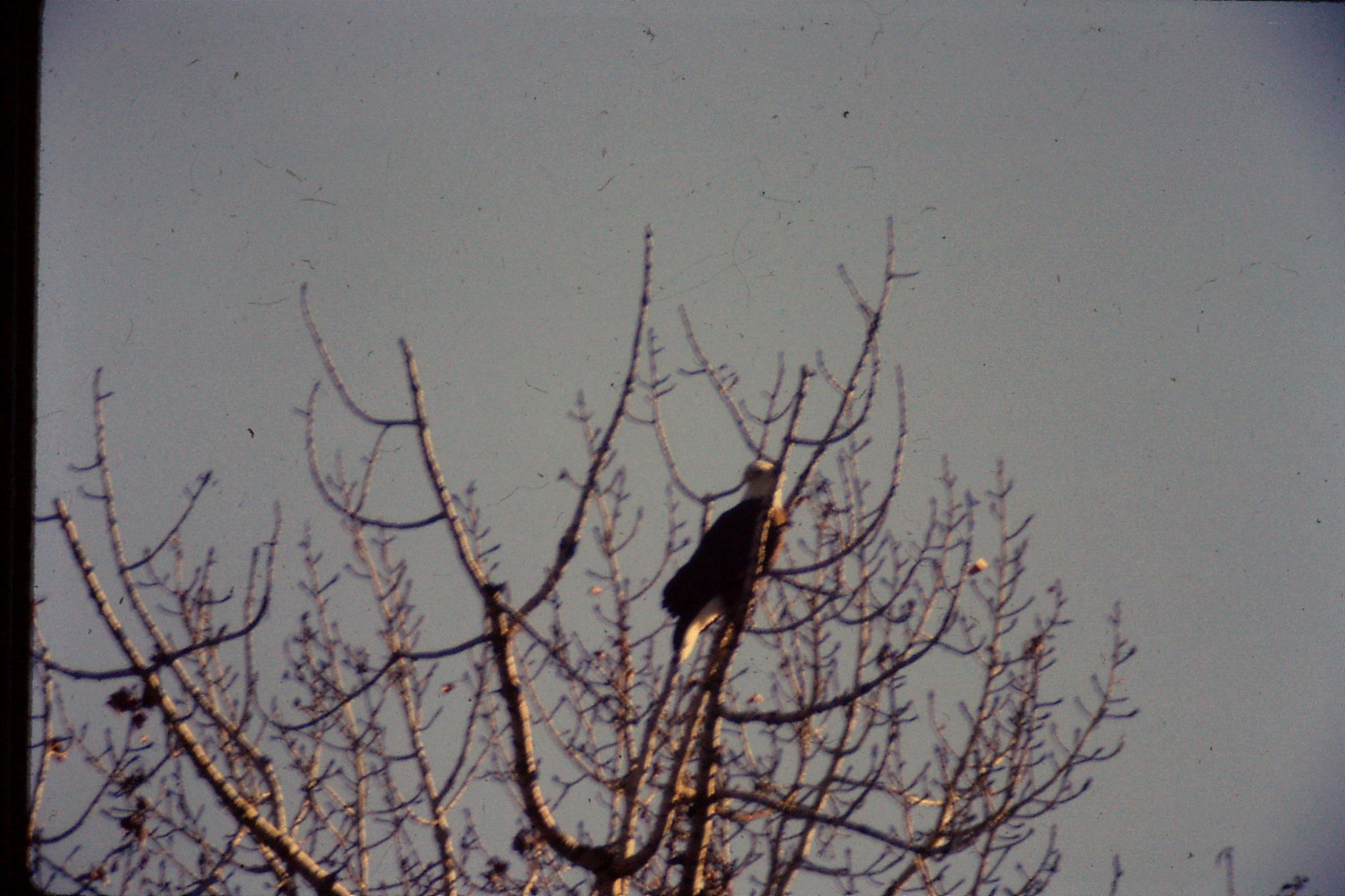 23/1/1991: 20: bald eagles