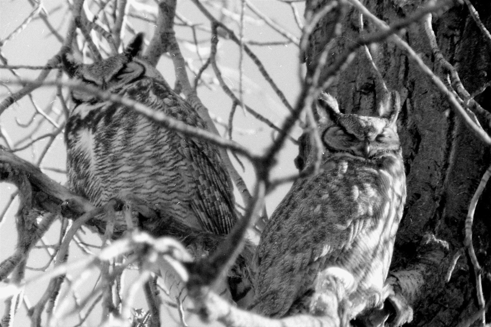 23/1/1991: 6: Gt Horned Owls