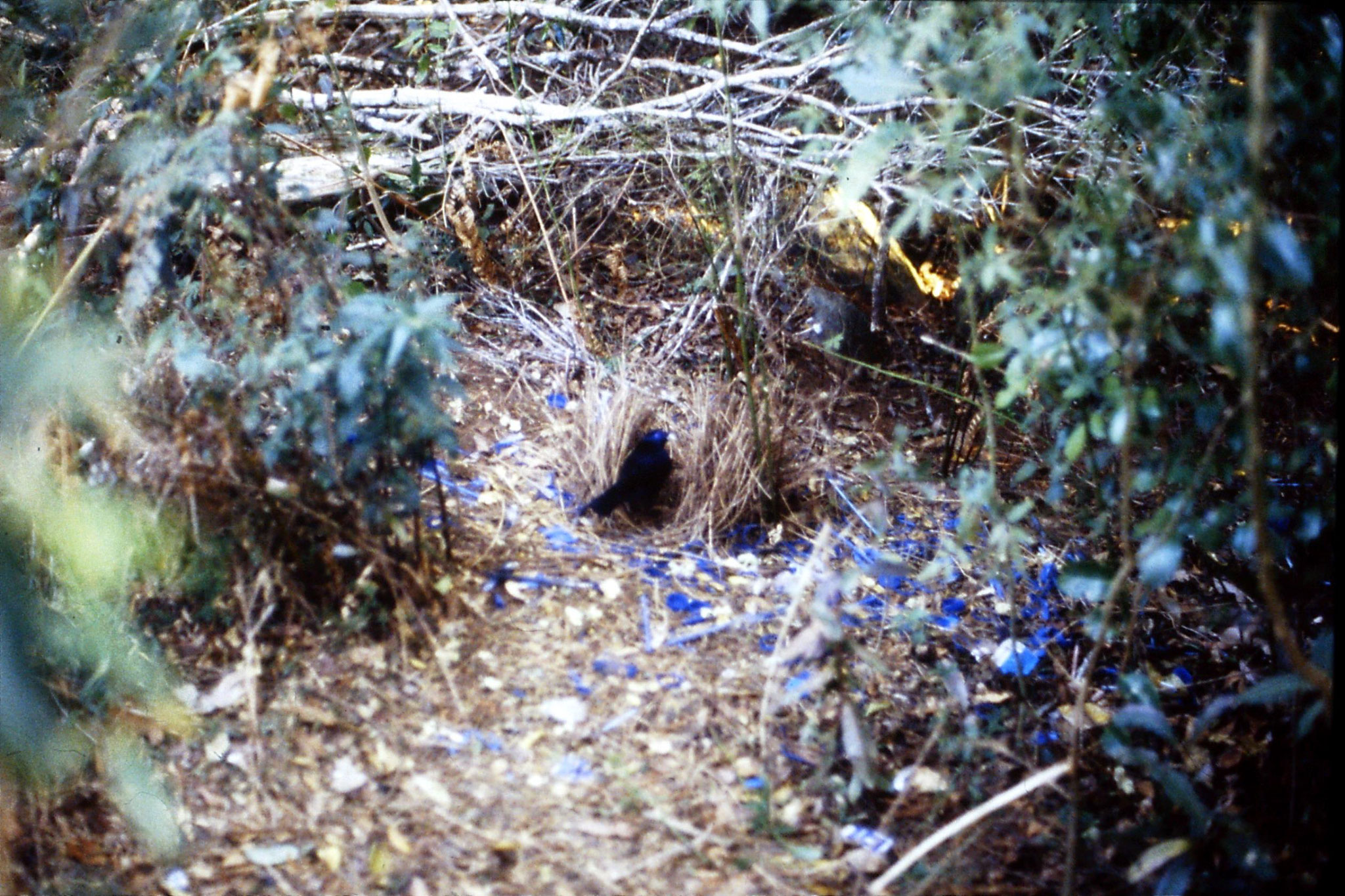 13/10/1990: 19: Mt Lamington, satin bower bird
