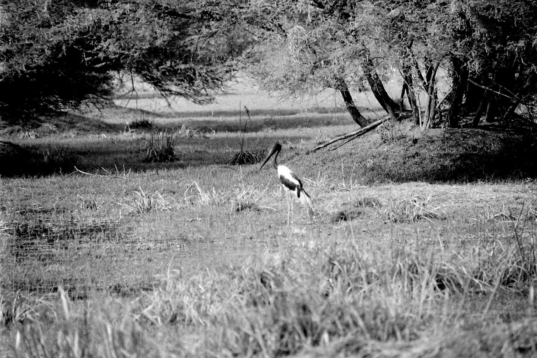 1/4/1990: 19: Bharatpur Black necked stork