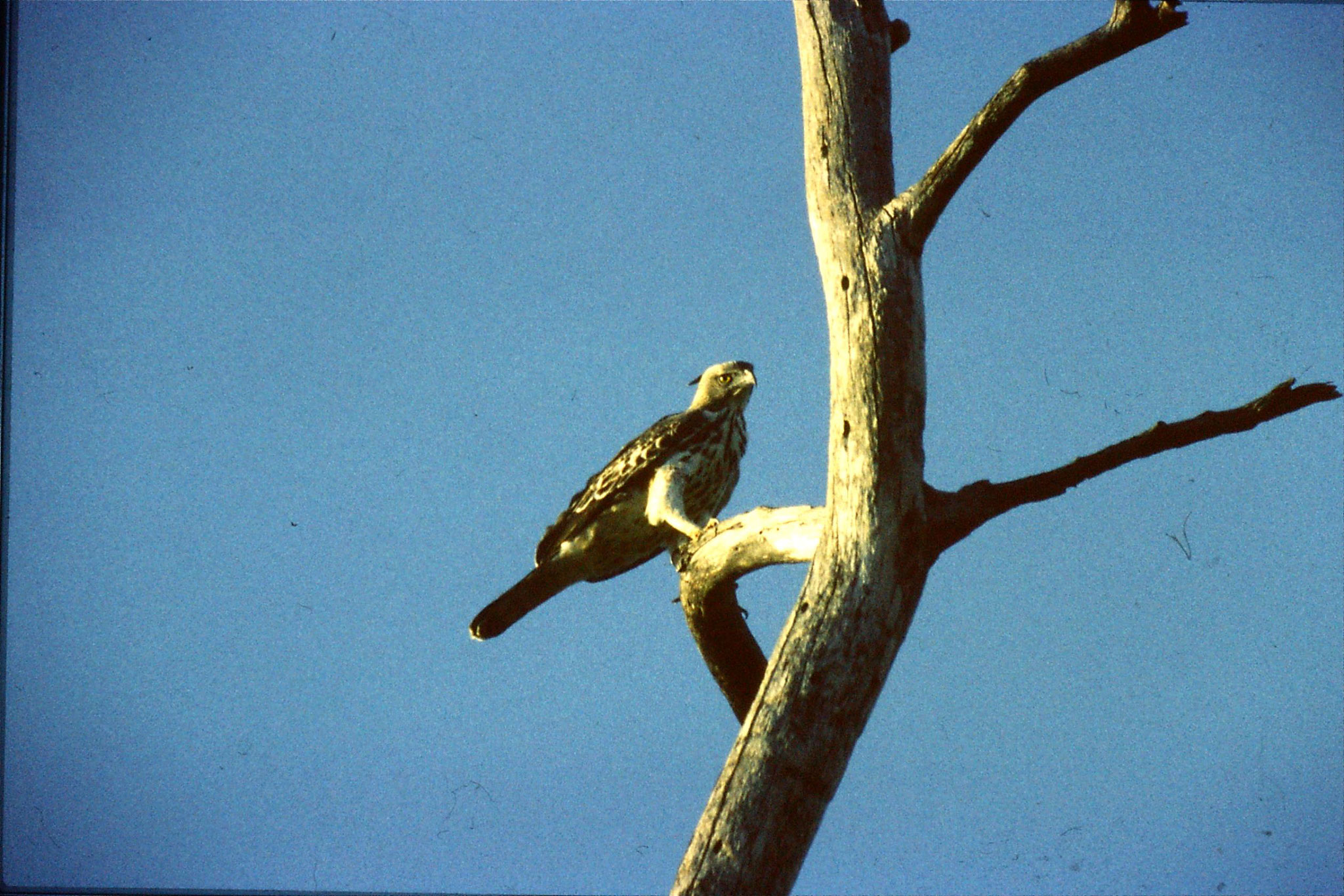 28/1/1990: 1: Uda Walawe Crested Hawk Eagle