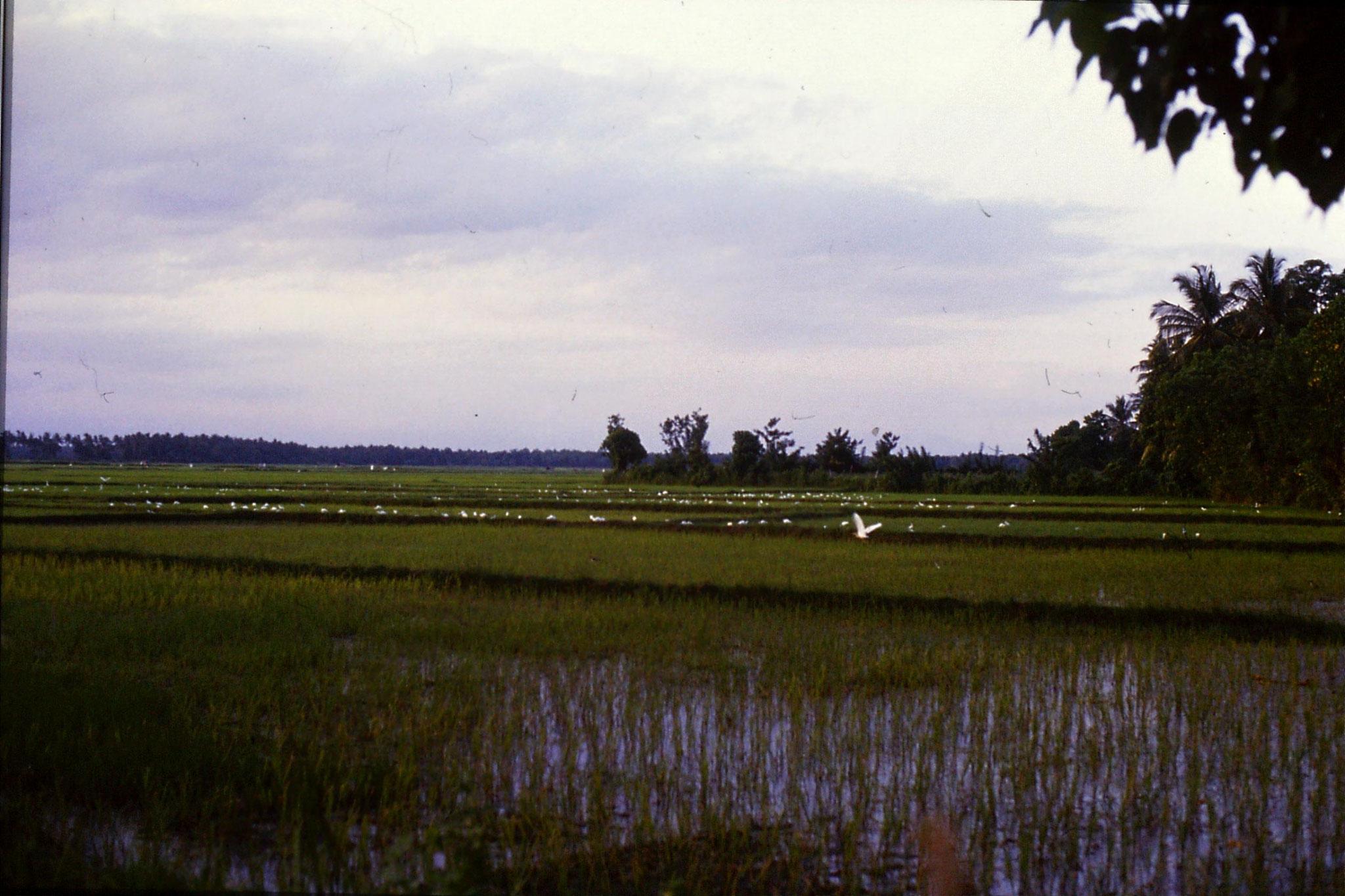 26/1/1990: 35: Tissamaharana, egrets