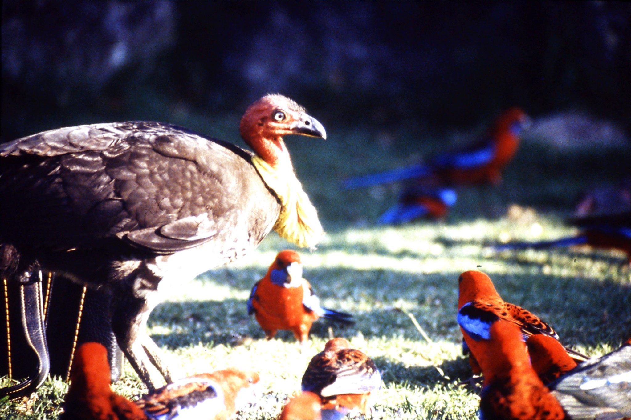 12/10/1990: 2: Mt Lamington, brush turkey and rosellas
