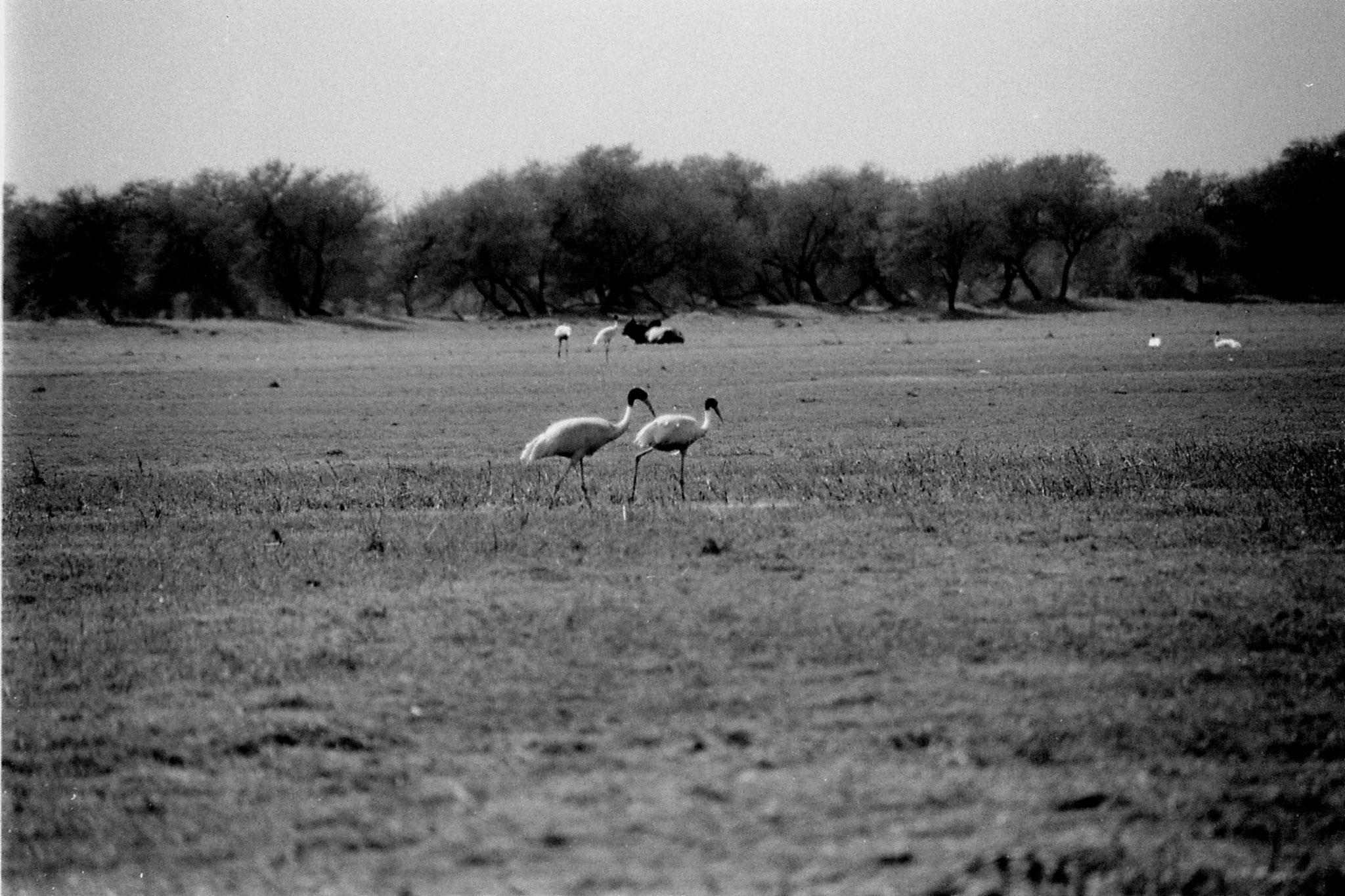 1/4/1990: 14: Bharatpur Two Sarus cranes