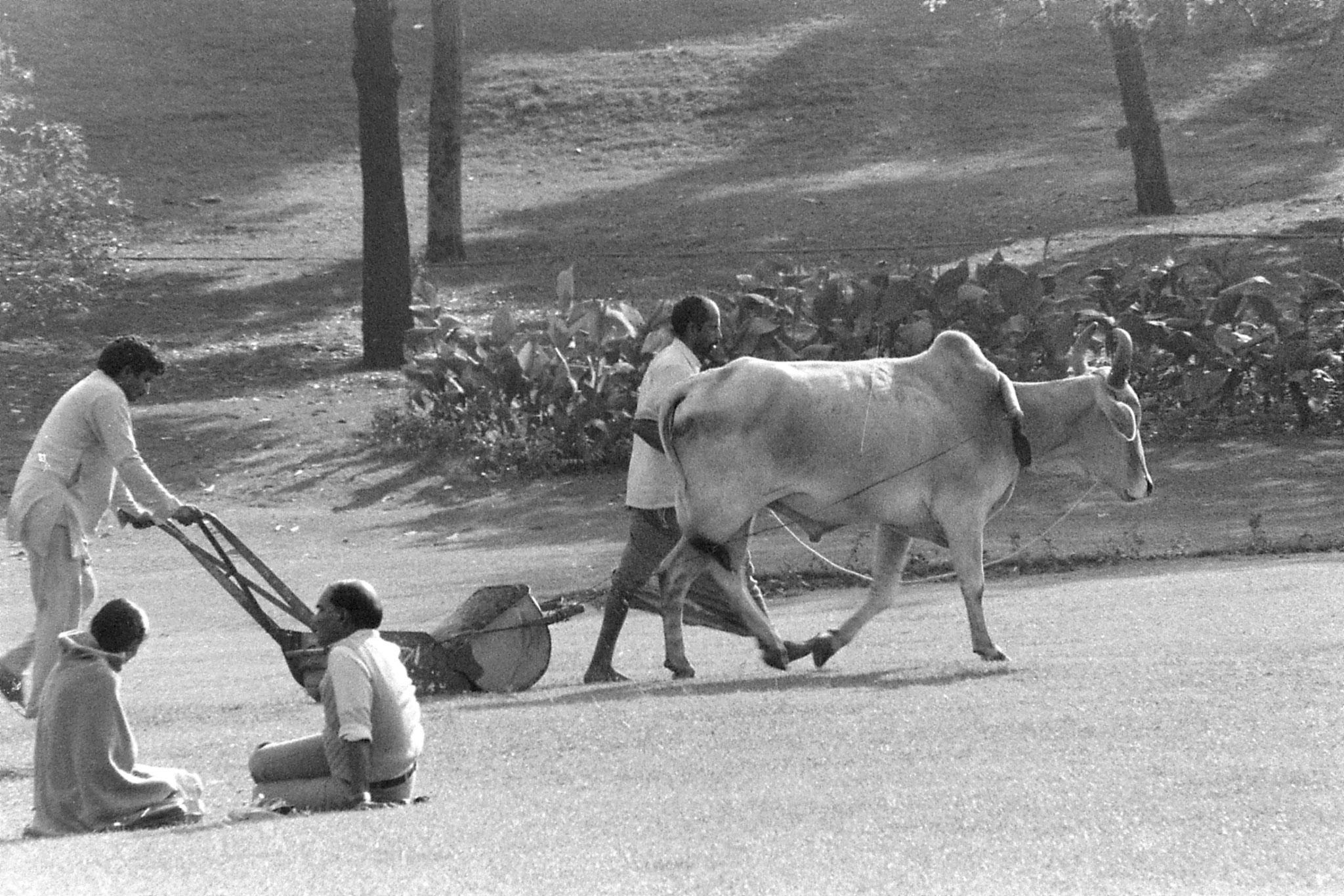 24/11/1989: 18: New Delhi Raj Ghat bullock lawn mower