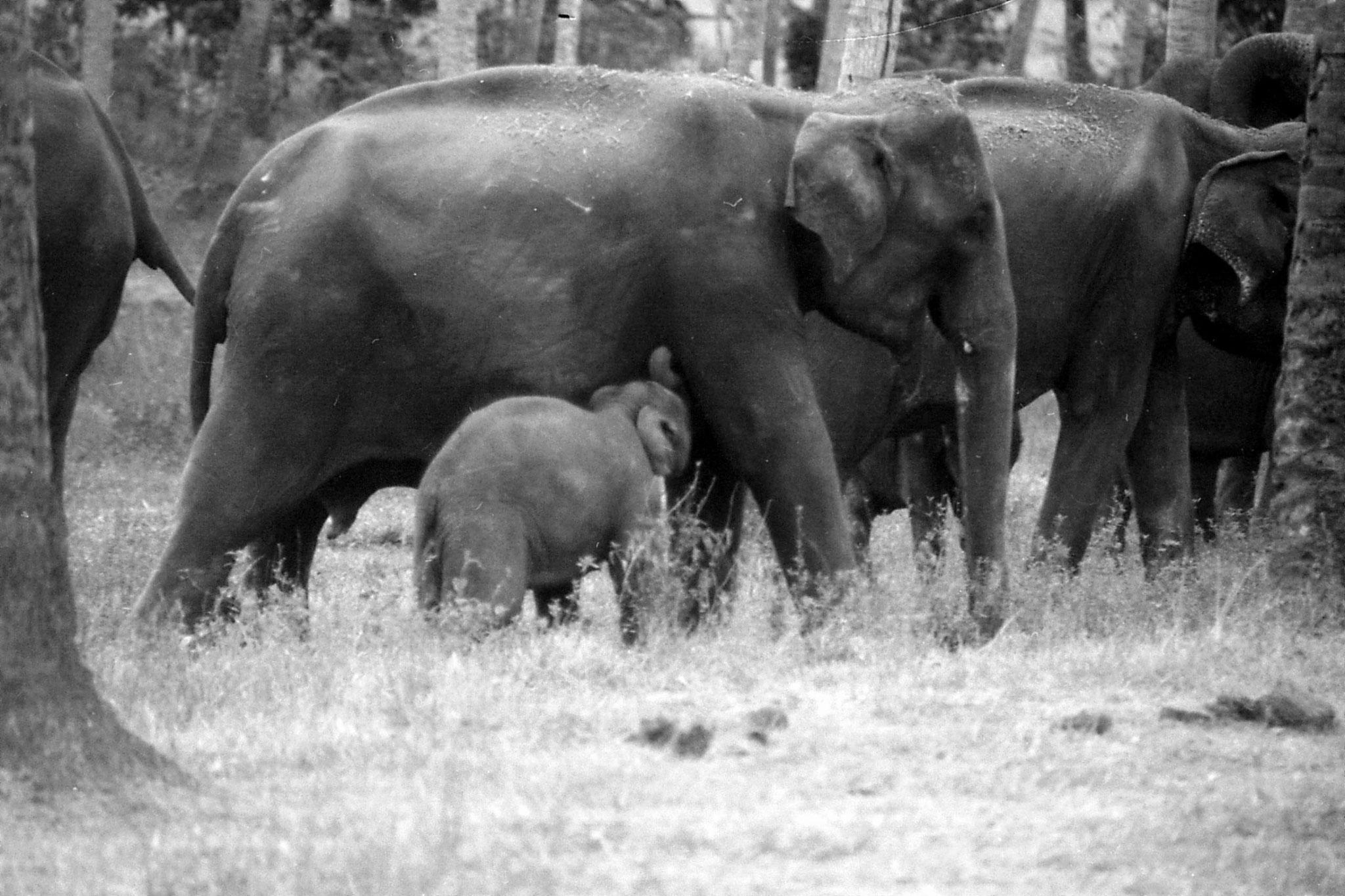 10/2/90: 34: Kegalla elephant orphanage