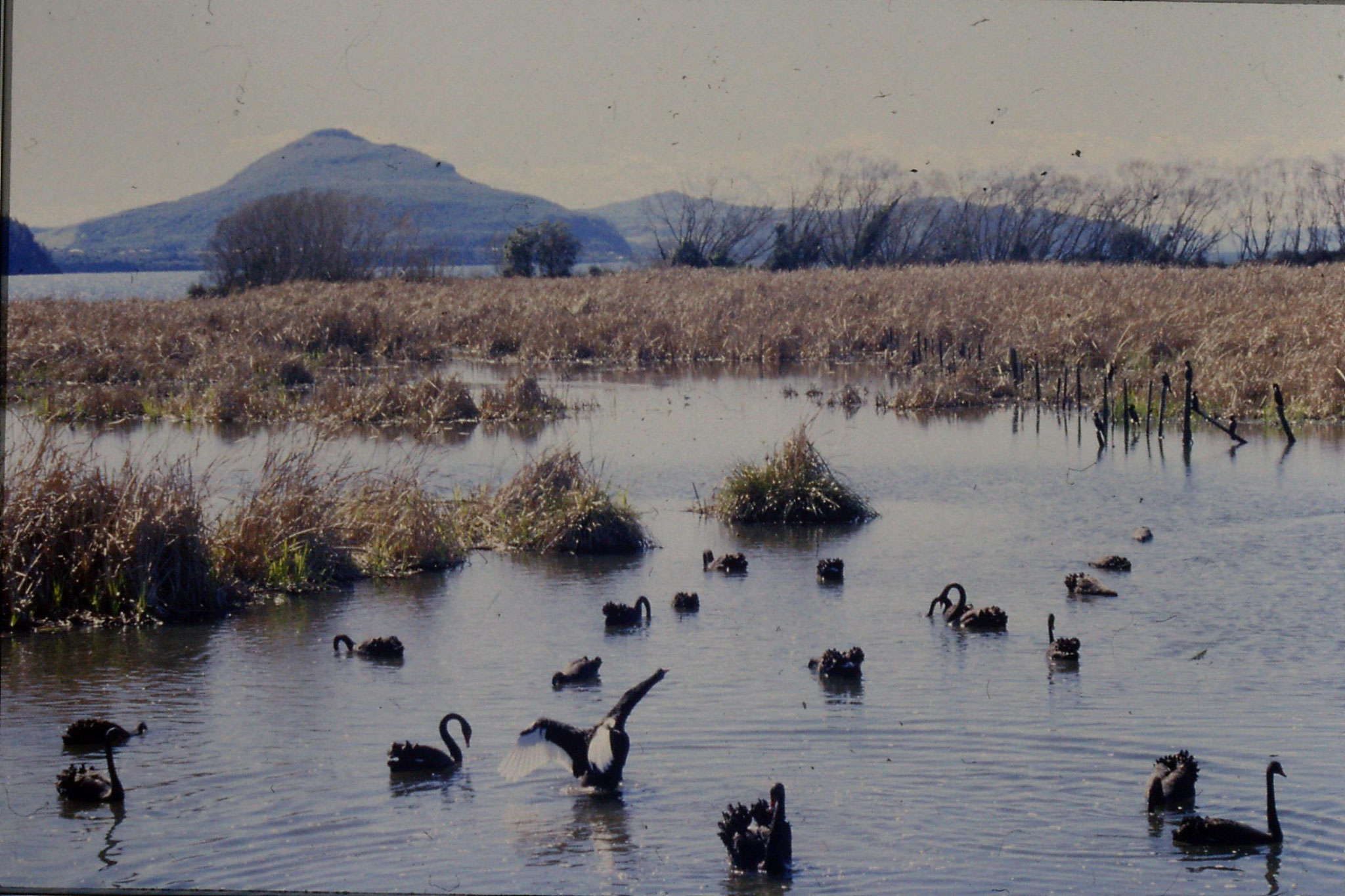 30/8/1990: 14: black swans at Waihi