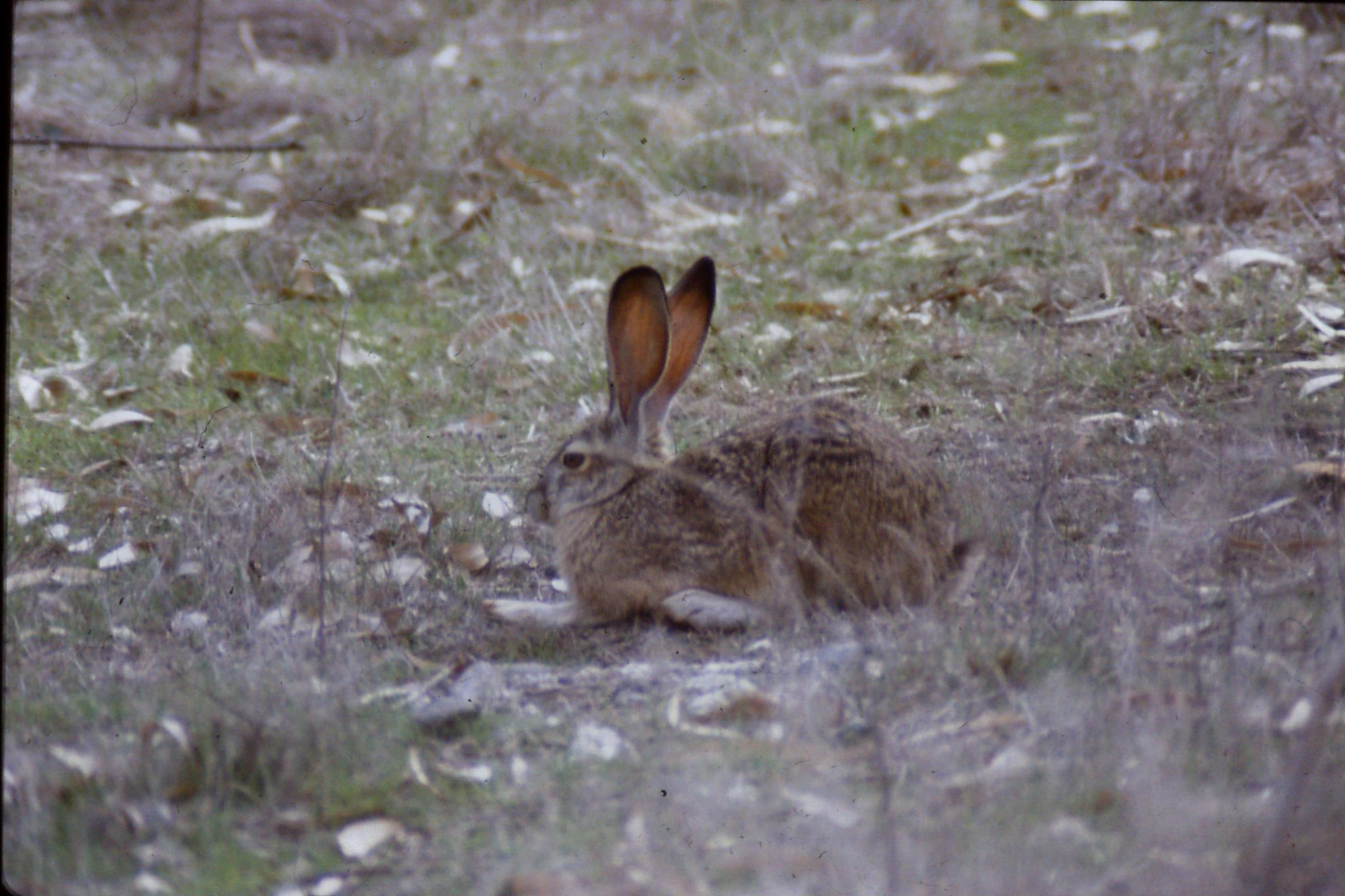 15/2/1991: 15: Sacramento NWR, Black Tailed Jack Rabbit