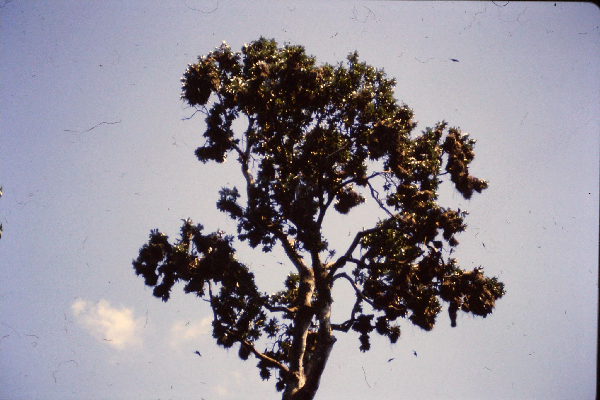 26/10/1990: 16: Cape Tribulation, metallic starling nest colony