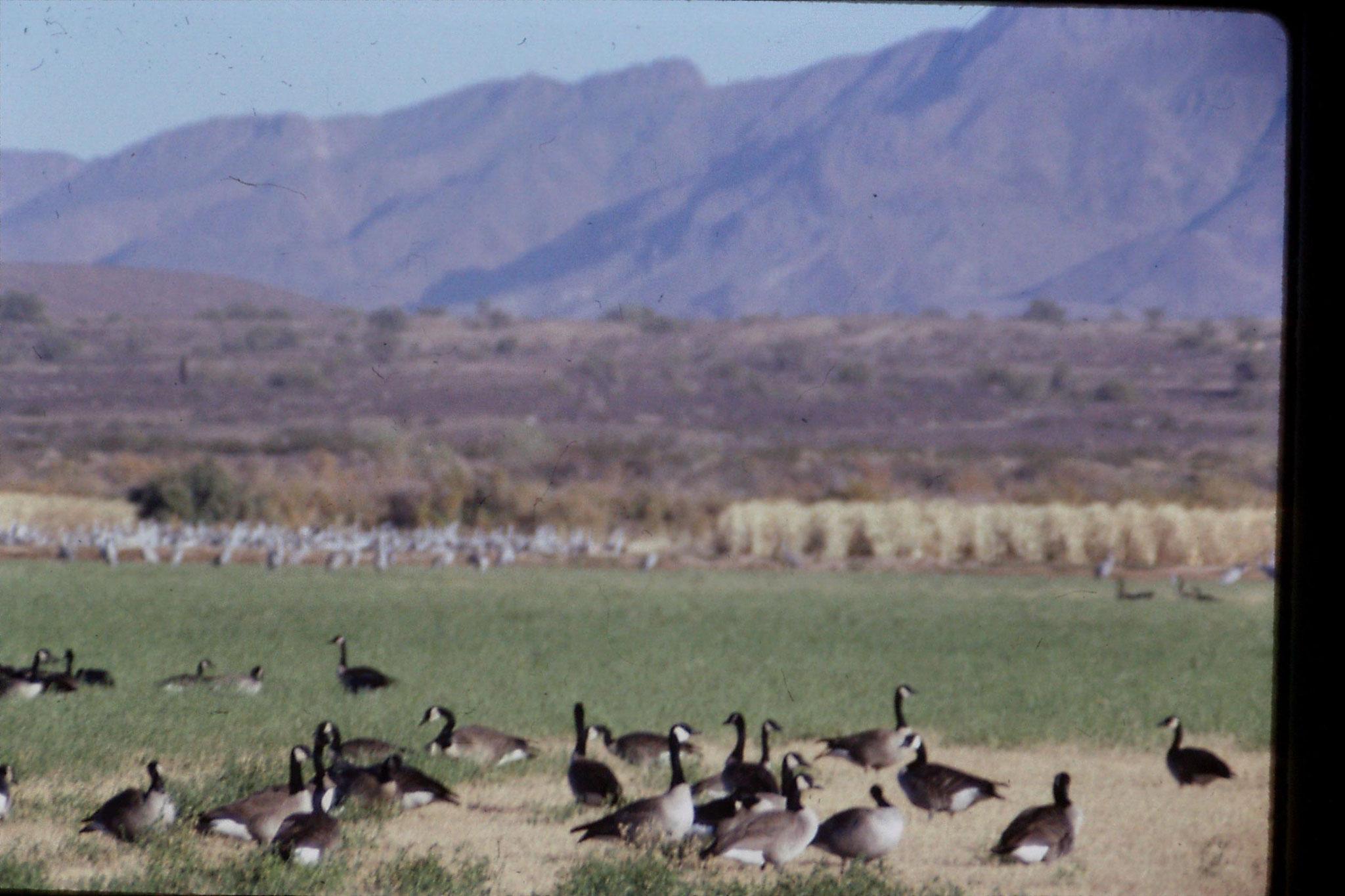 10/12/1990: 5: Cibola WR, Canada geese and cranes