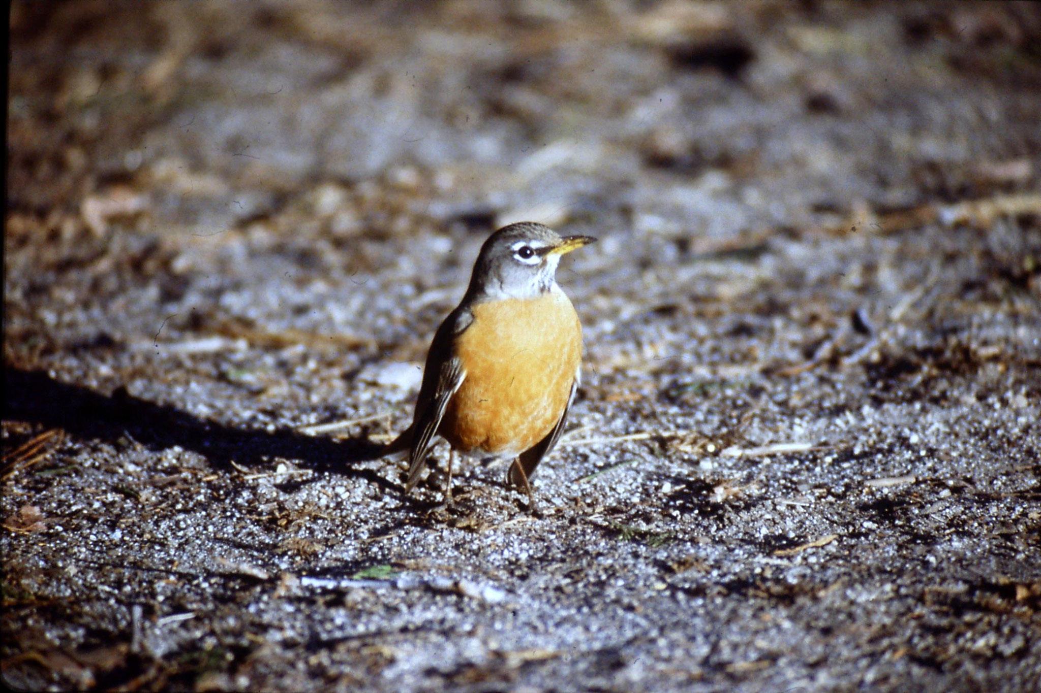 16/2/1991: 27: Yosemite, American Robin