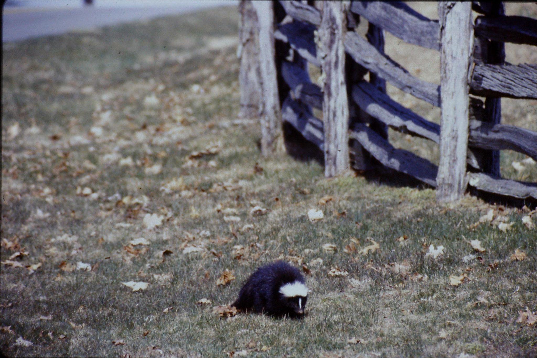17/3/1991: 26: Benge Gap skunk