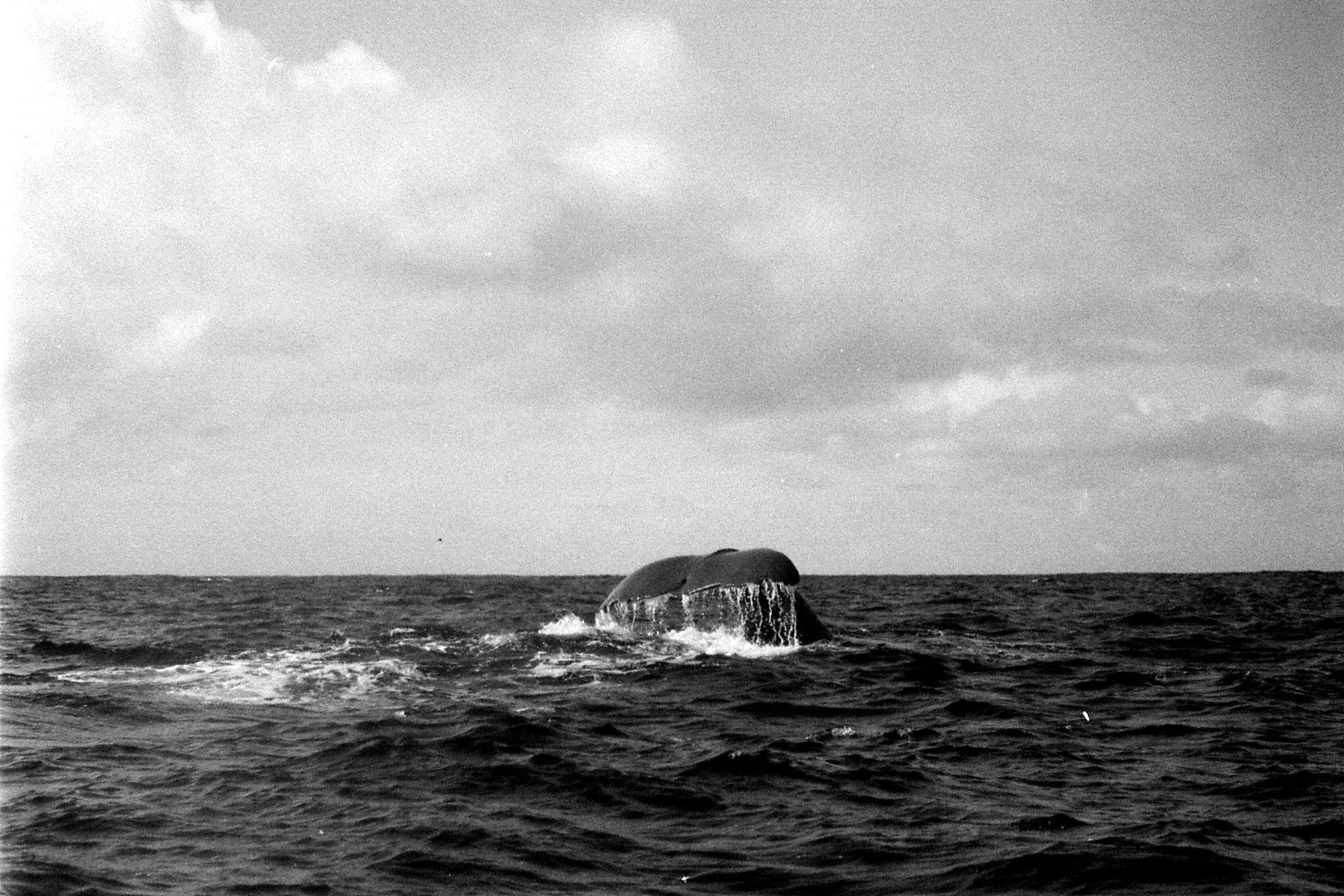 9/8/1990: 20:Kaikoura: sperm whale