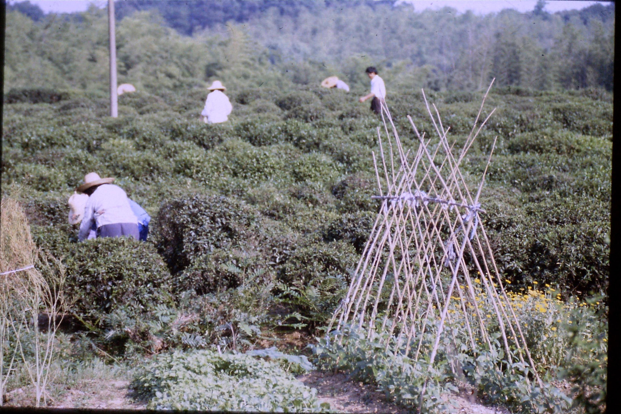 1/6/1989: 32: tea pickers near university