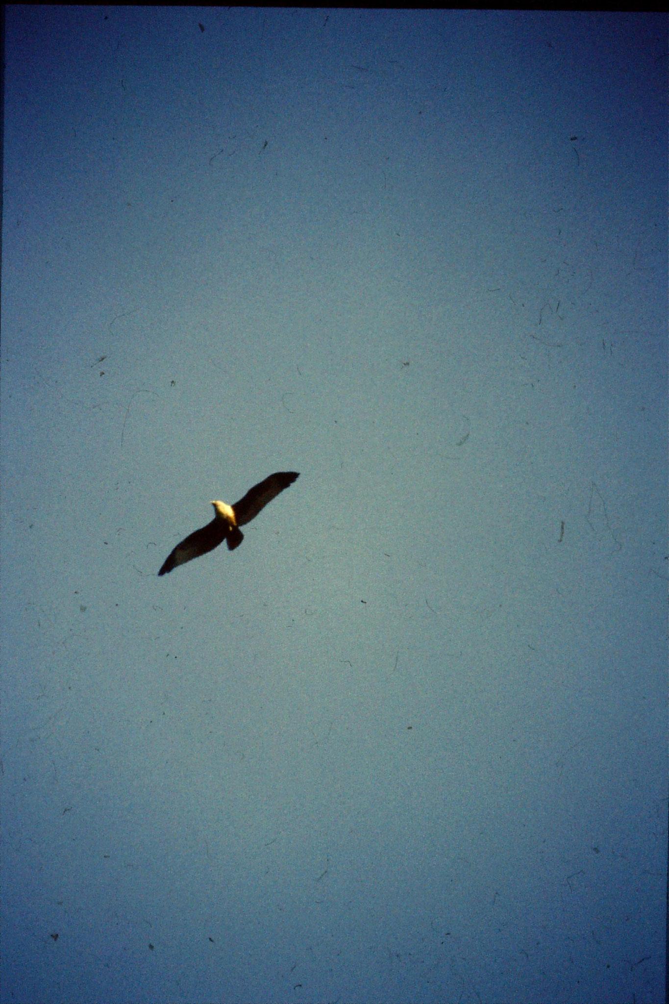 30/12/1989: 0:Goa Candolim Brahminy Kite