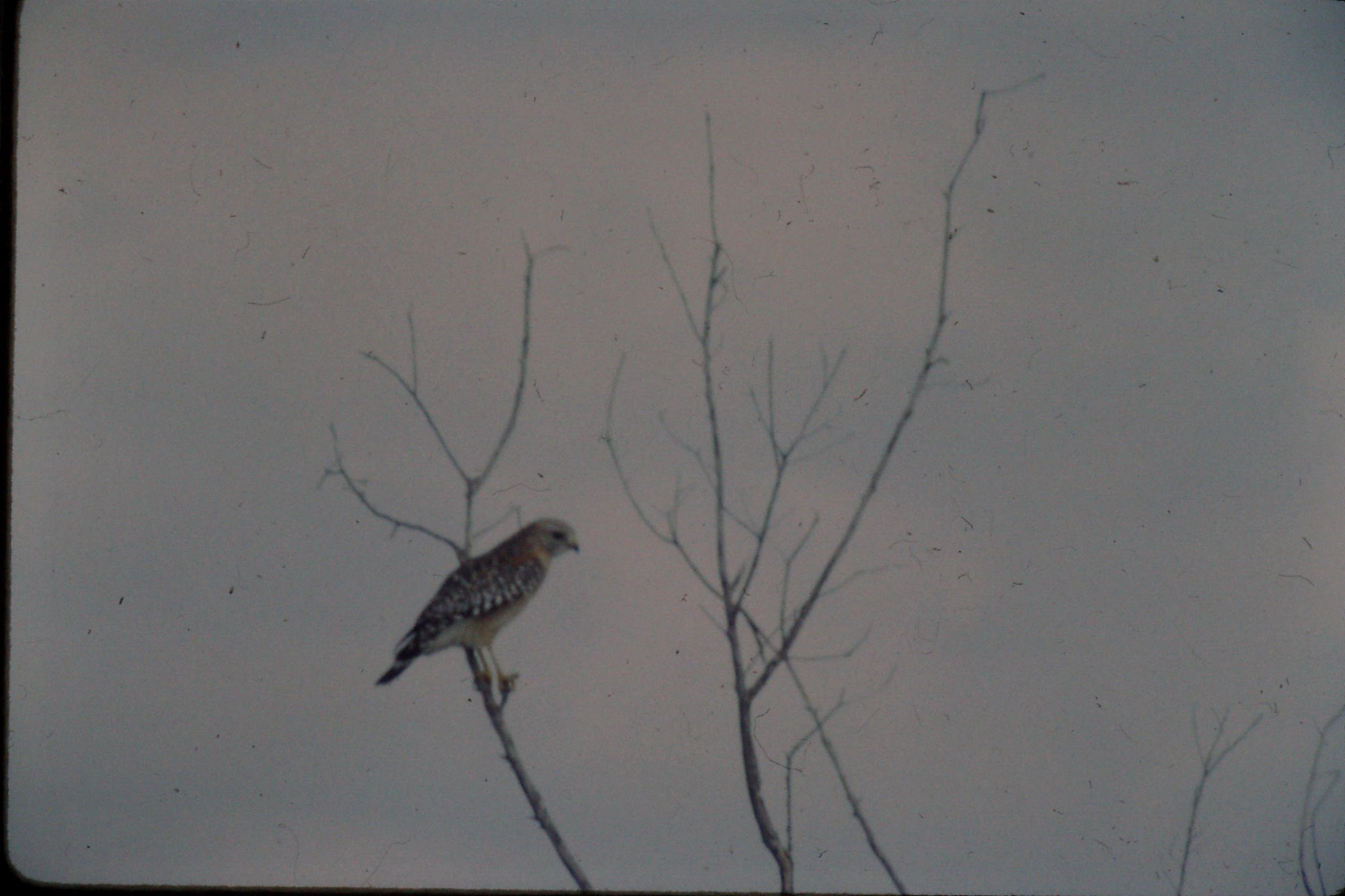21/12/1990: 10: Everglades, red shouldered hawk