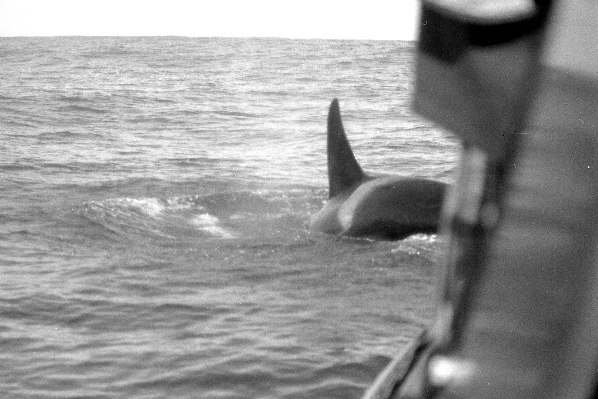 9/8/1990: 15:Kaikoura: killer whale