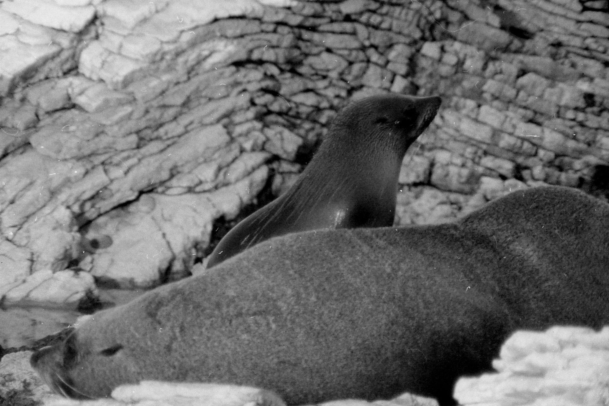 9/8/1990: 2: Kaikoura seals