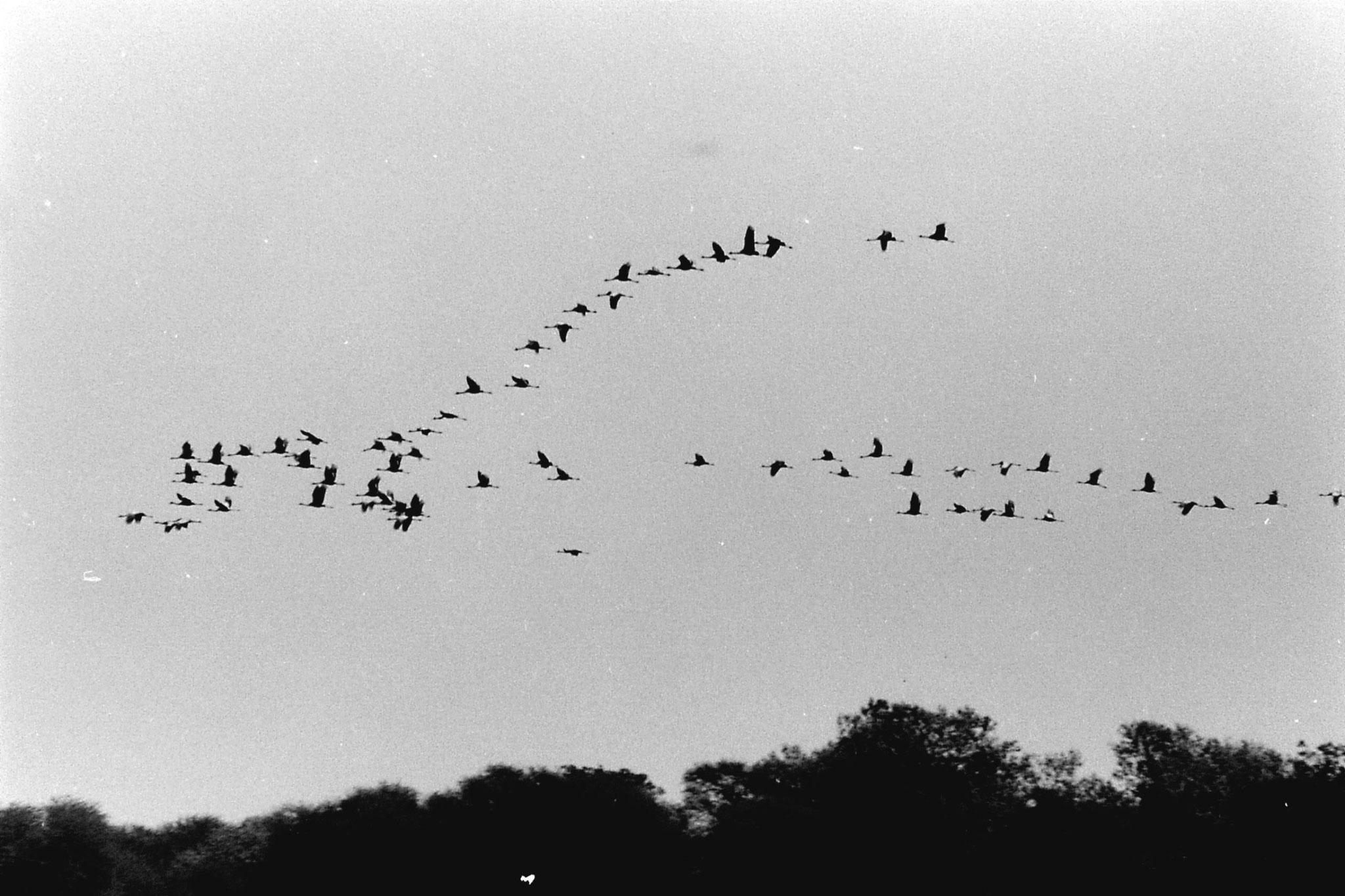1/4/1990: 10: Bharatpur Common cranes