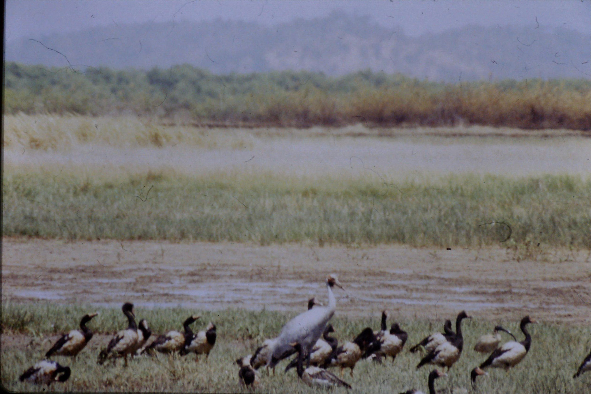 17/10/1990: 32: Townsville town common, pied geese and brolgas