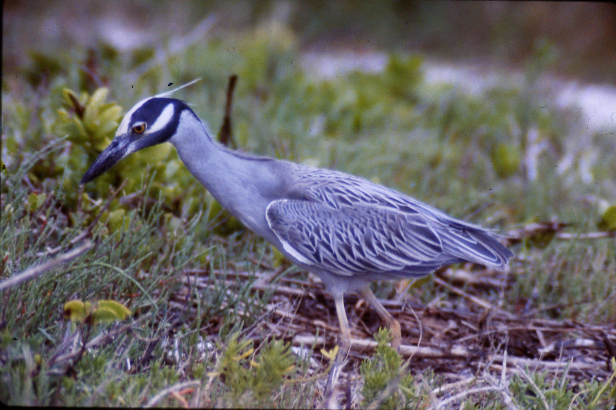 25/2/1991: 0: Sanibel Florida yellow crowned night heron