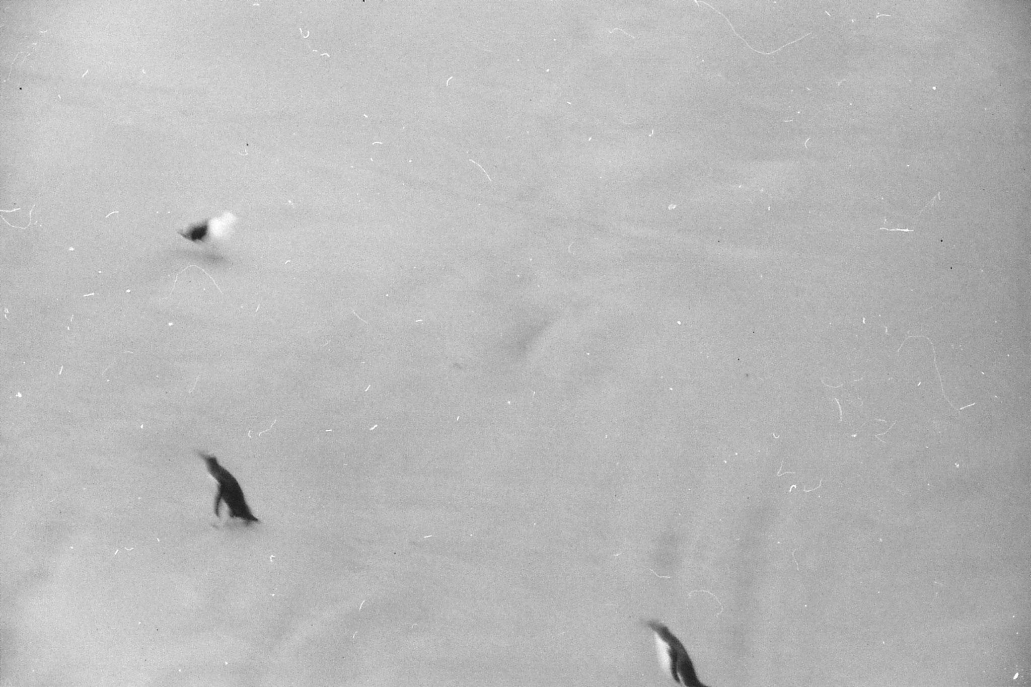 21/8/1990: 32: yellow eyed penguin colony