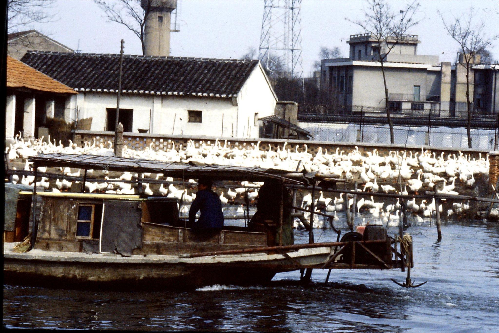 22/3/1989: 4: Suzhou: geese farm