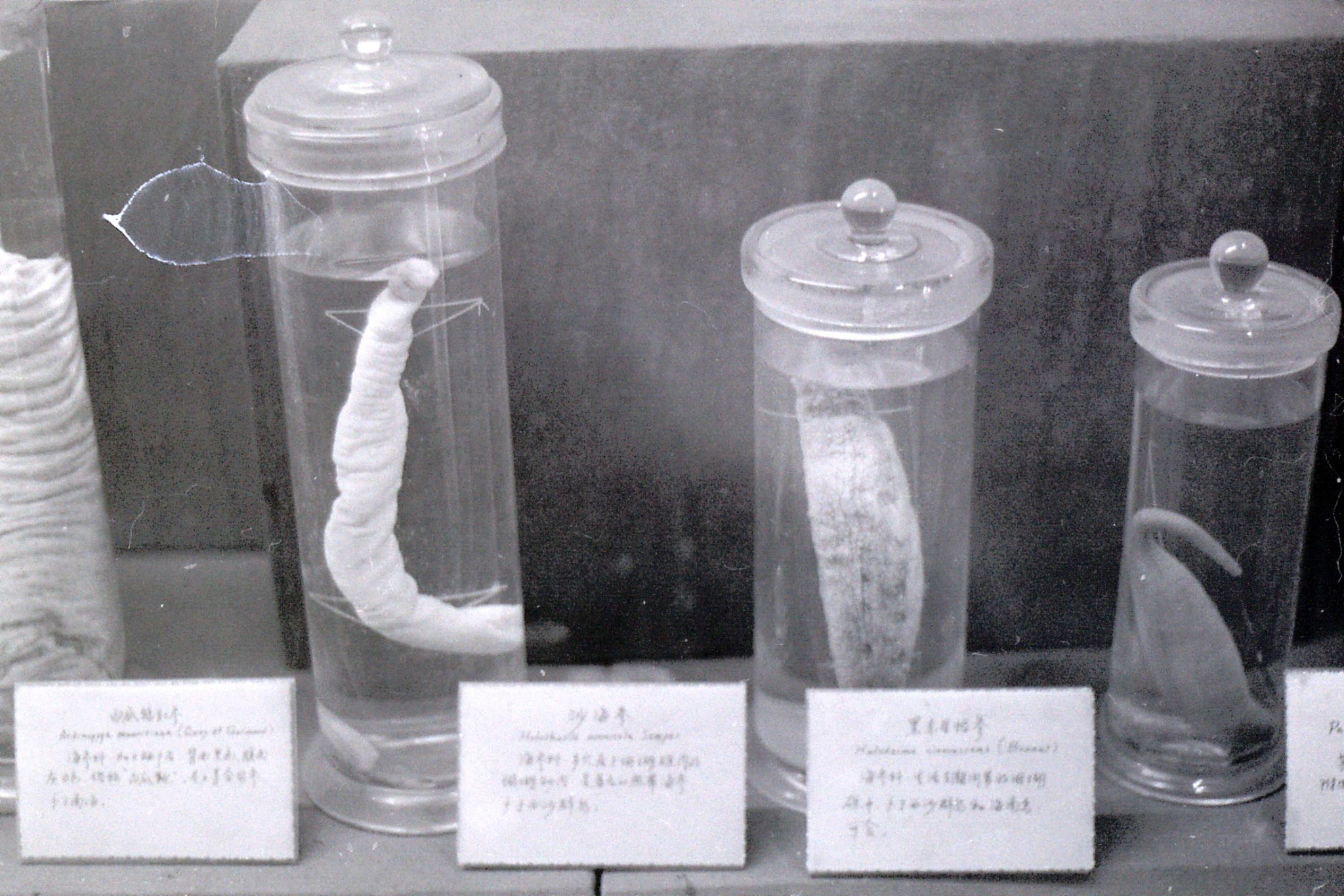 14/2/1989: 29: Qingdao Marine Museum, sea cucumbers