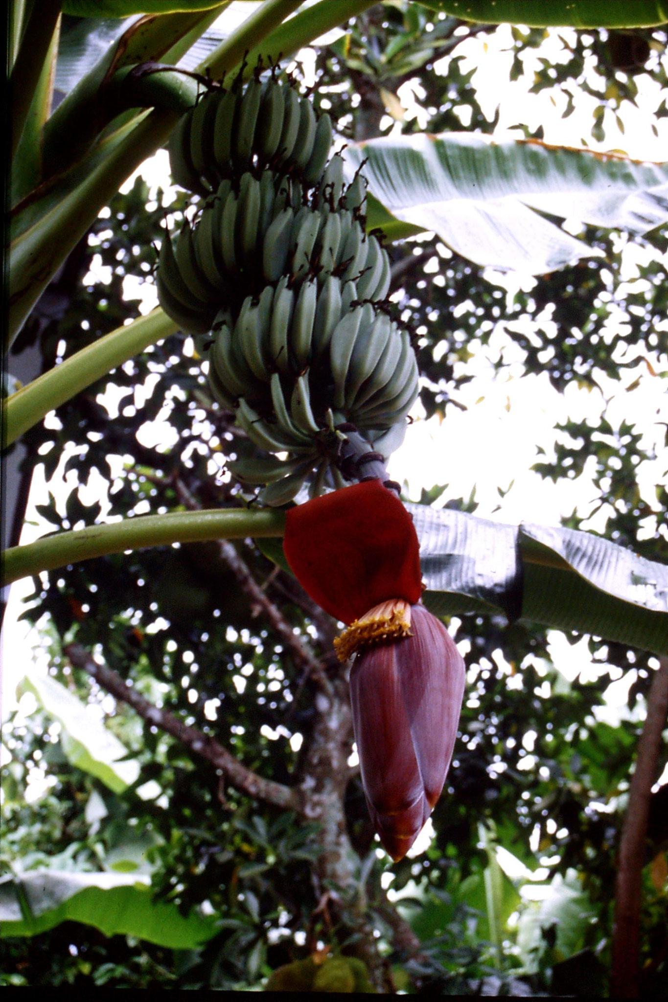 29/5/1990: 13: banana