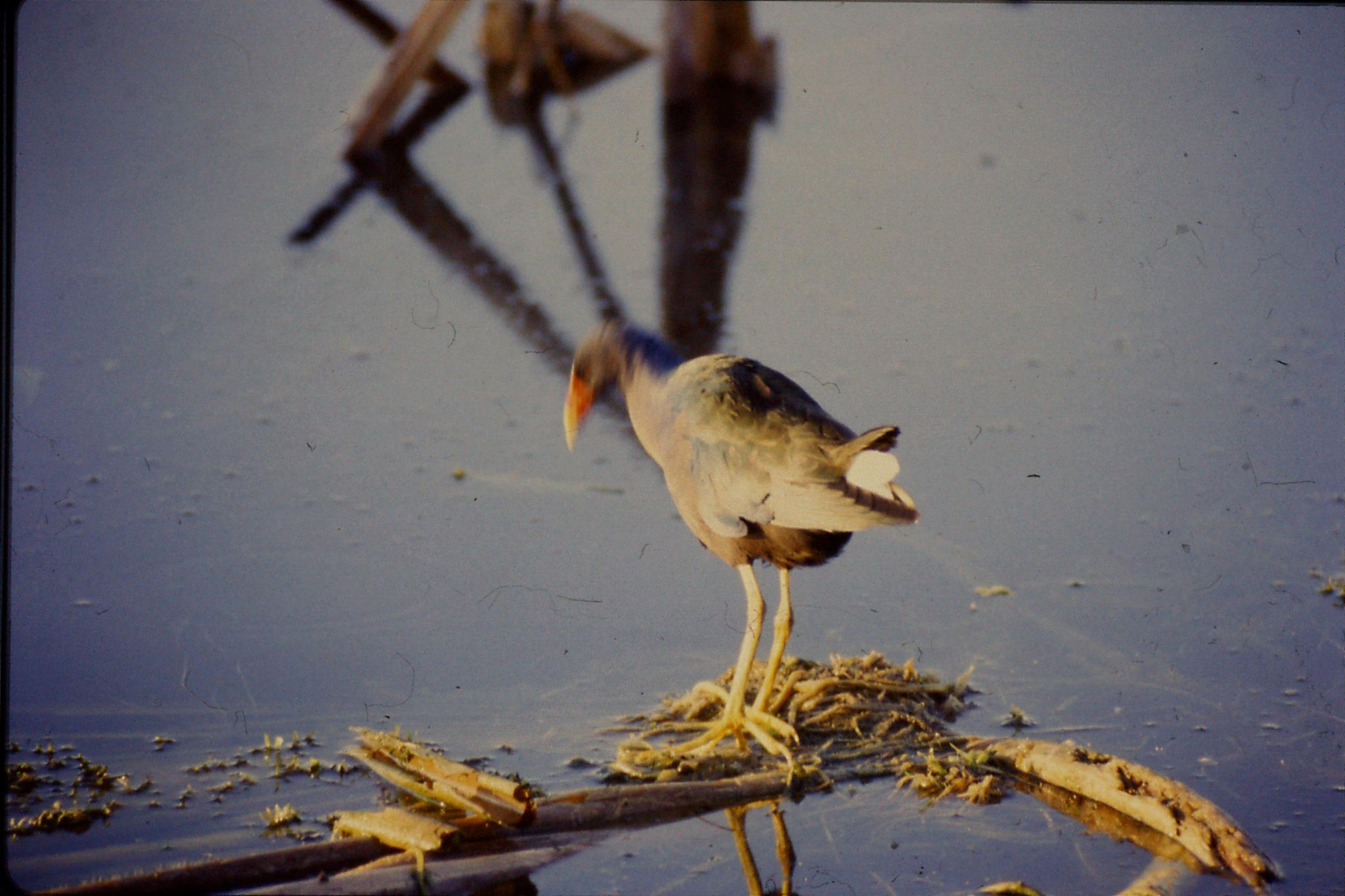 7/3/1991: 23: Loxahatchee Purple Gallinule