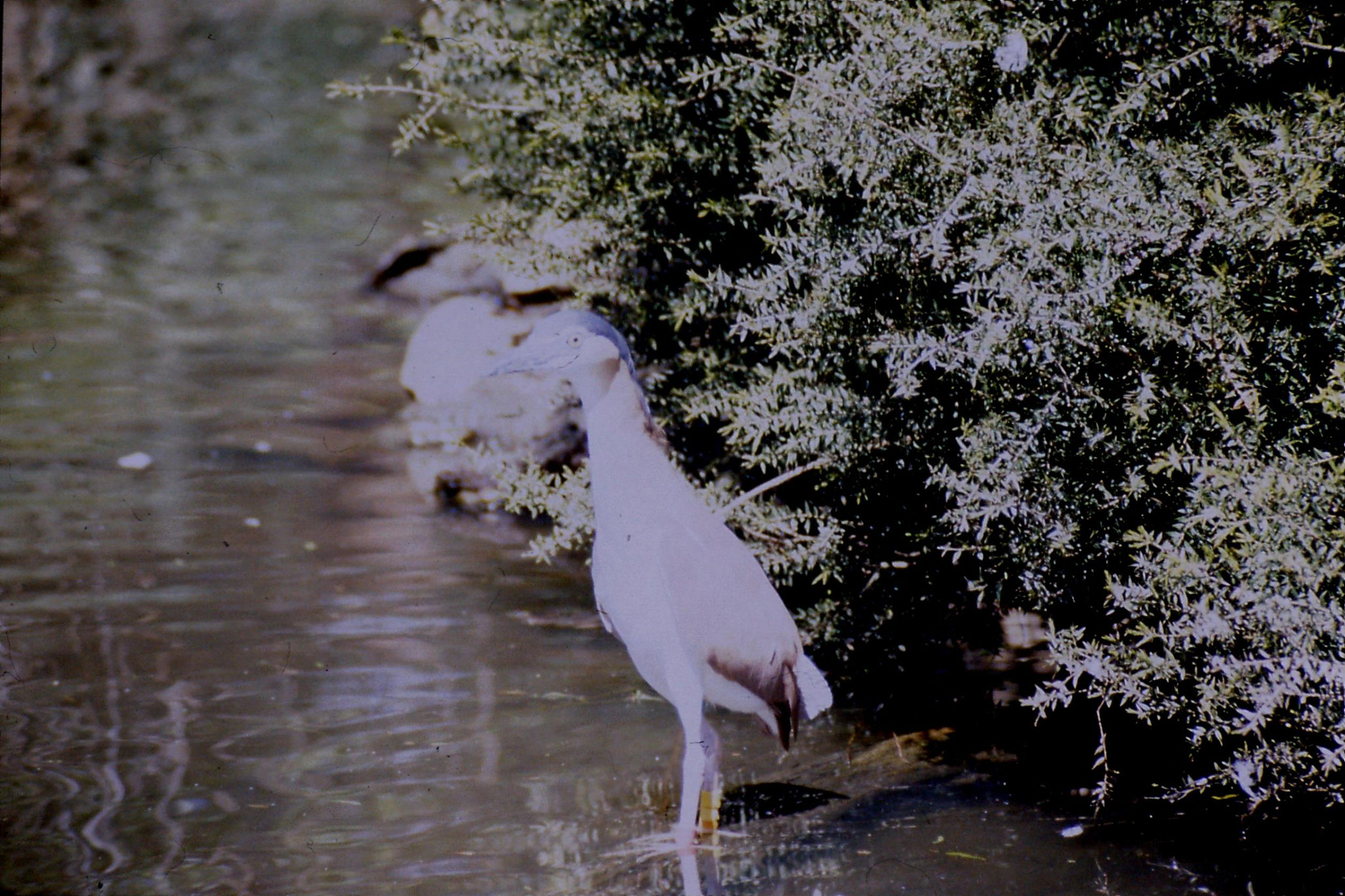4/10/1990: 12: Healesville  Sanctuary, night heron